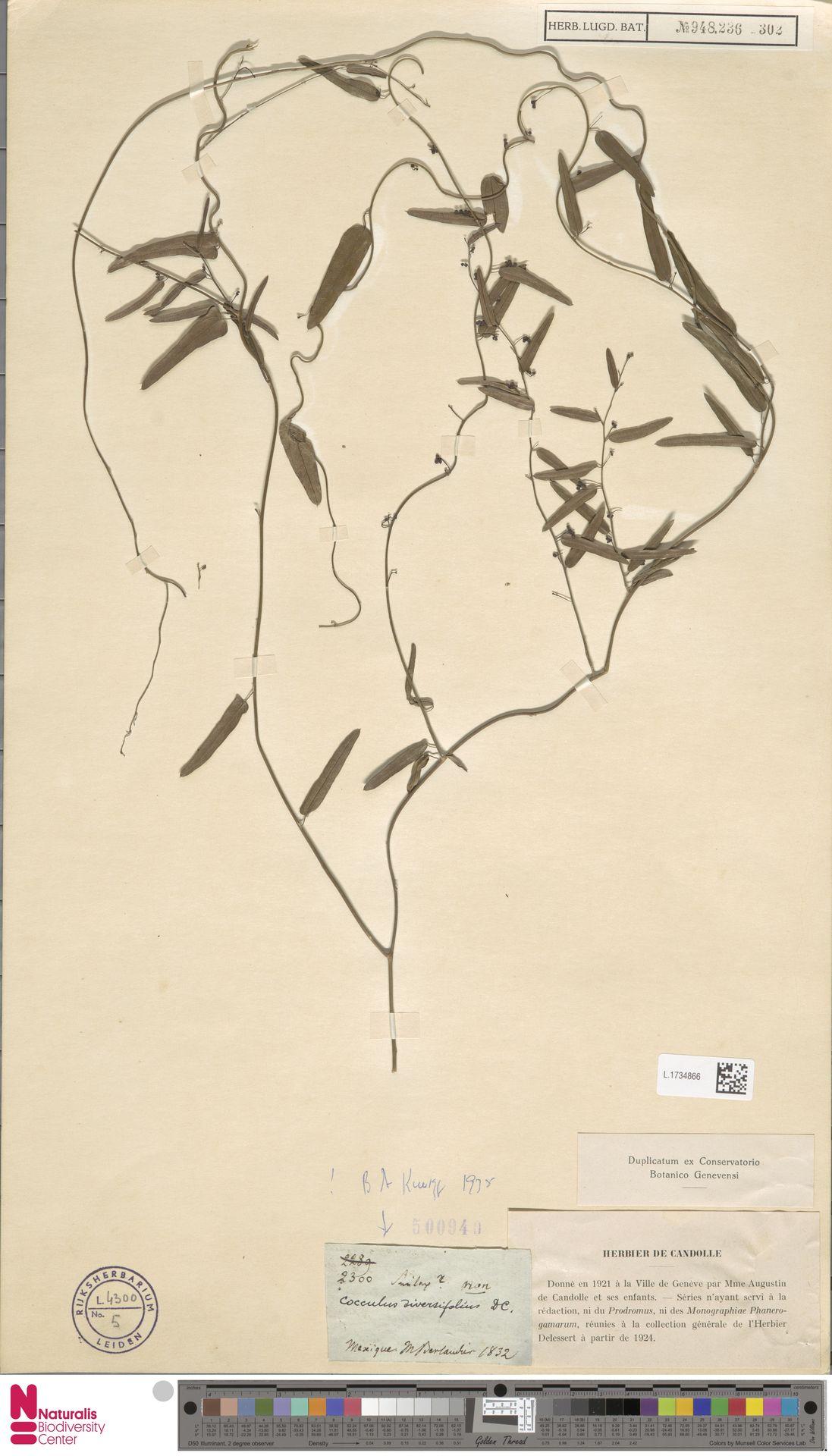 L.1734866   Cocculus diversifolius Miq.