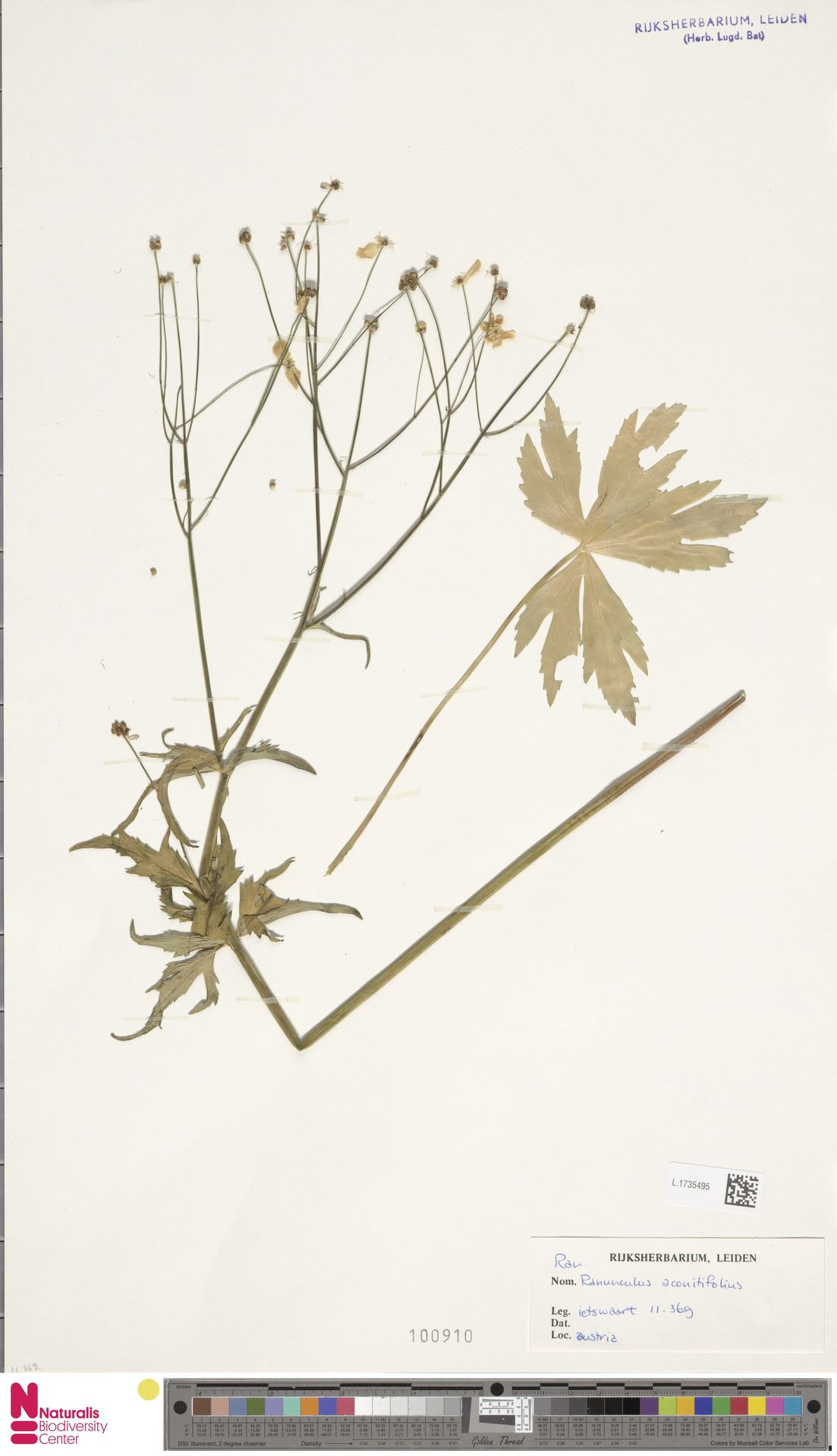 L.1735495 | Ranunculus aconitifolius L.