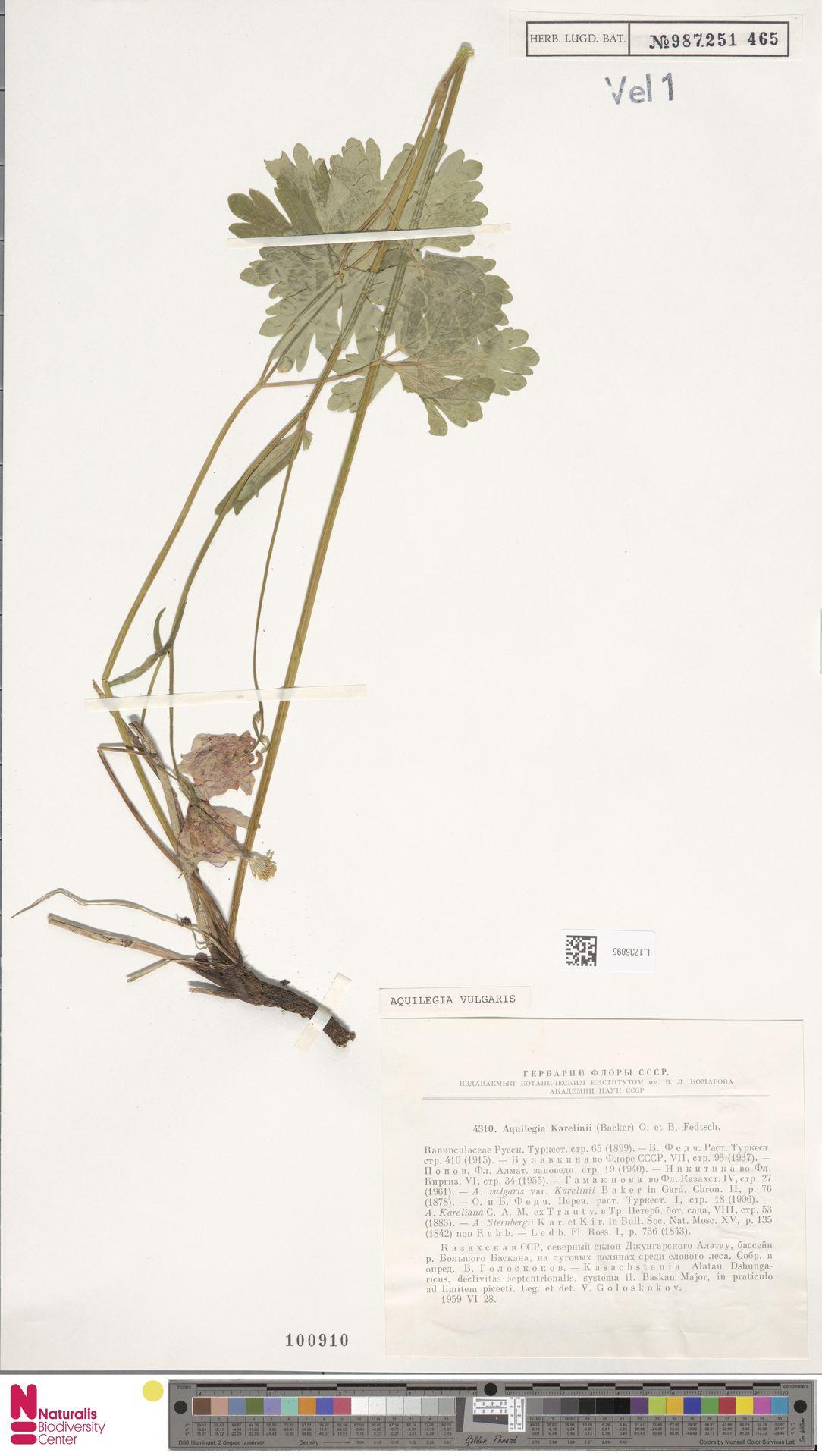 L.1735895   Aquilegia vulgaris L.