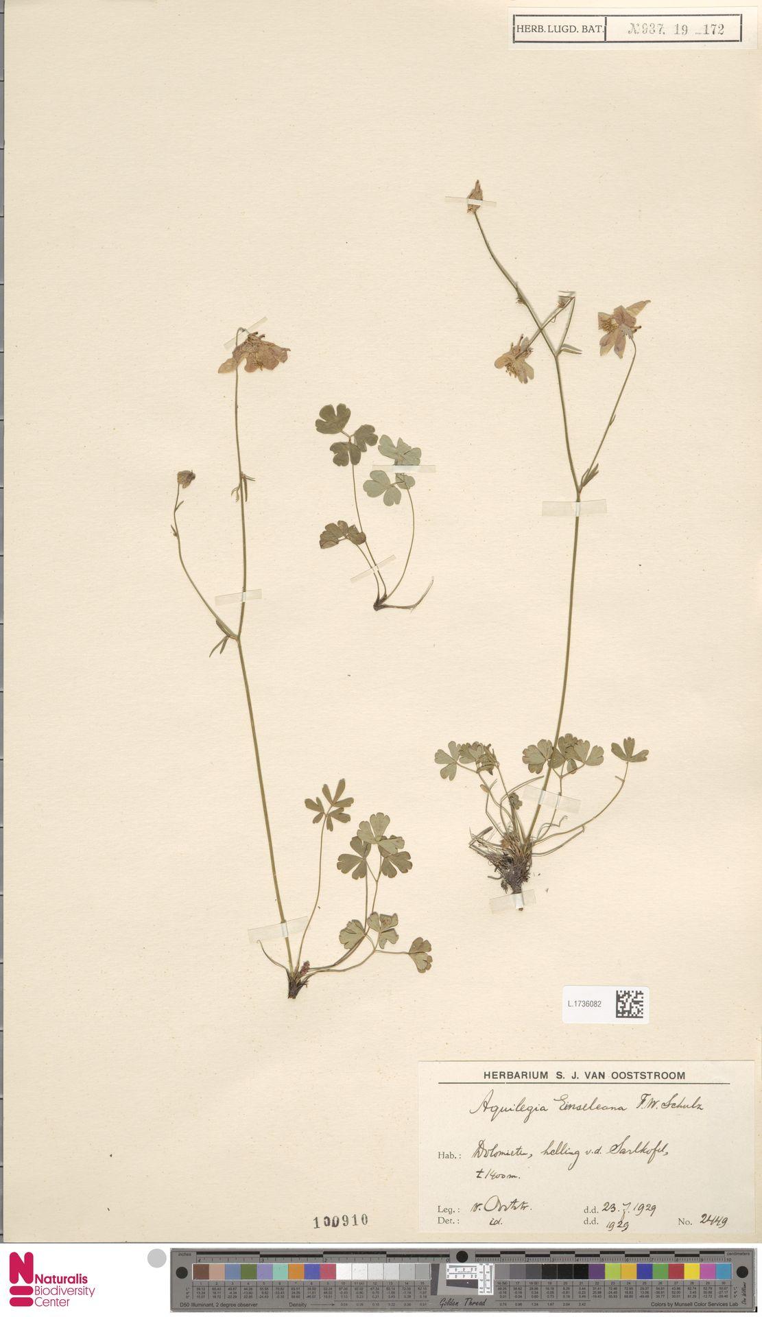 L.1736082   Aquilegia einseleana F.W.Schultz