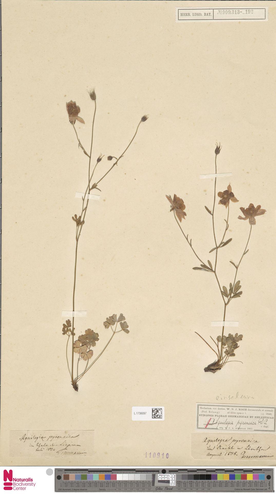 L.1736097 | Aquilegia einseleana F.W.Schultz