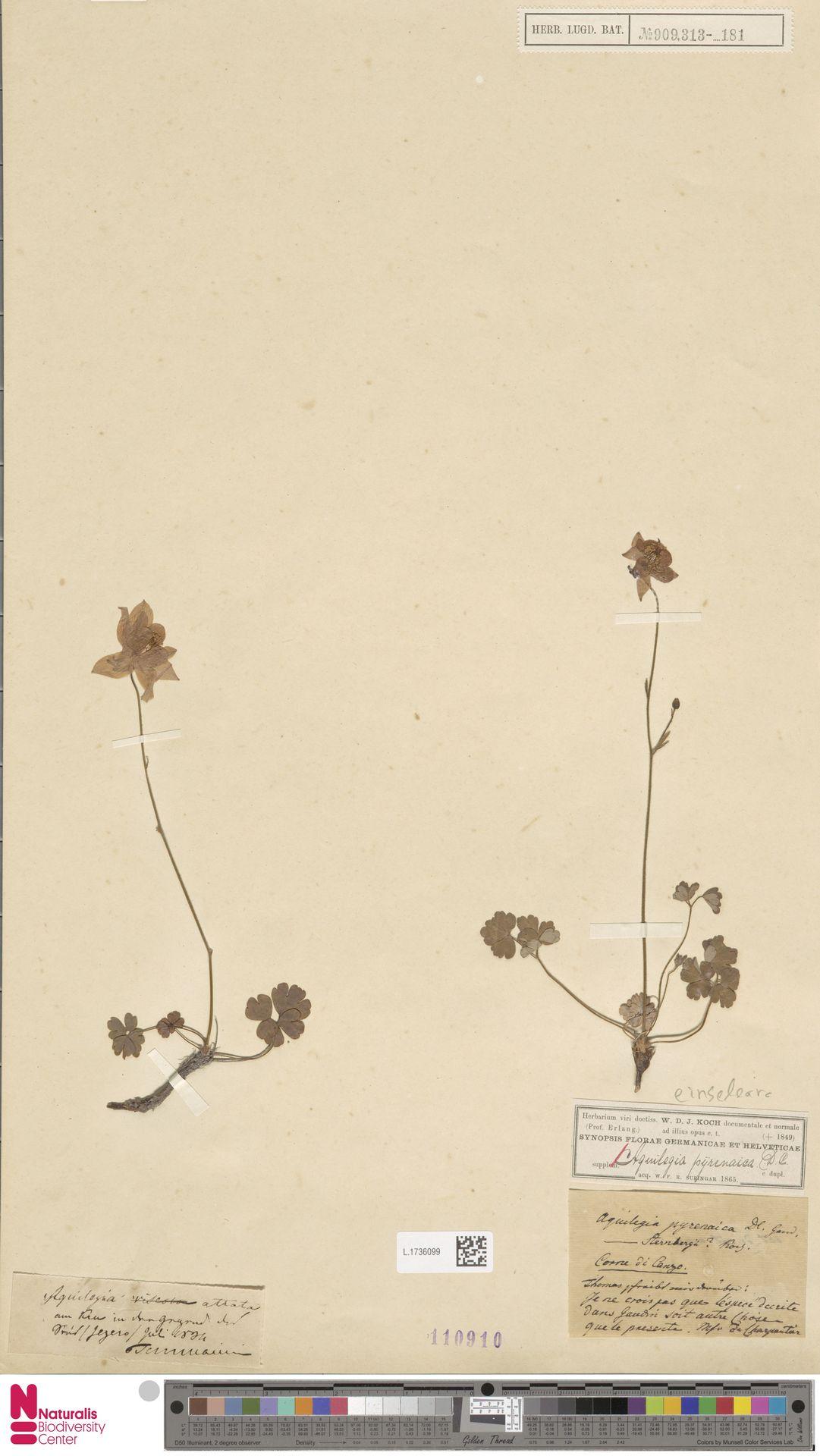 L.1736099 | Aquilegia einseleana F.W.Schultz