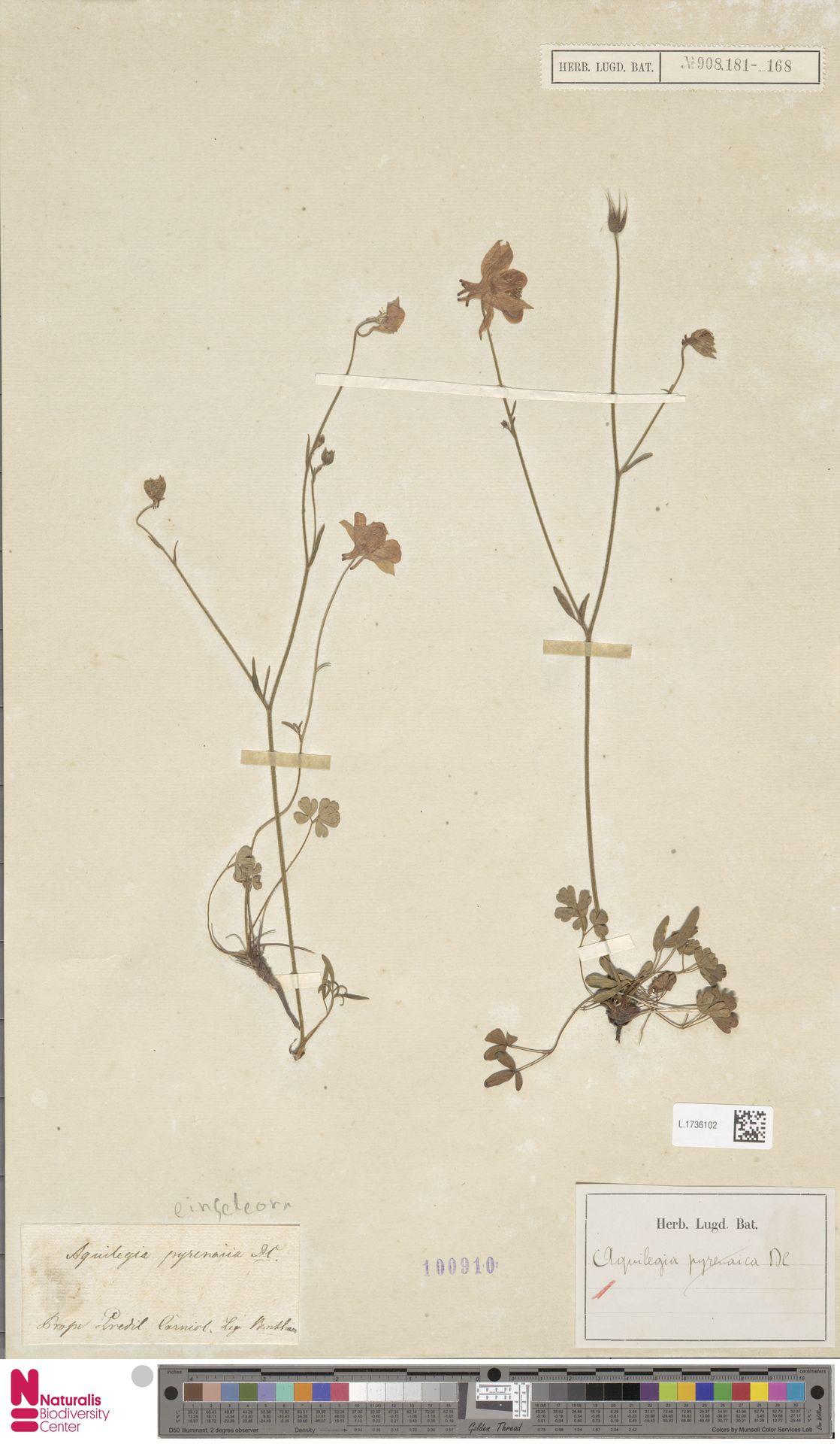 L.1736102   Aquilegia einseleana F.W.Schultz