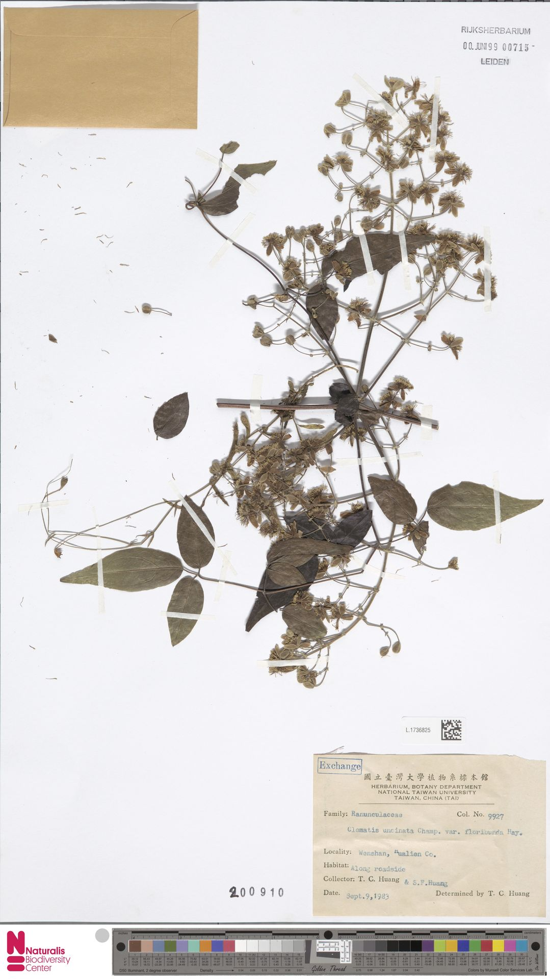 L.1736825 | Clematis uncinata var. floribunda