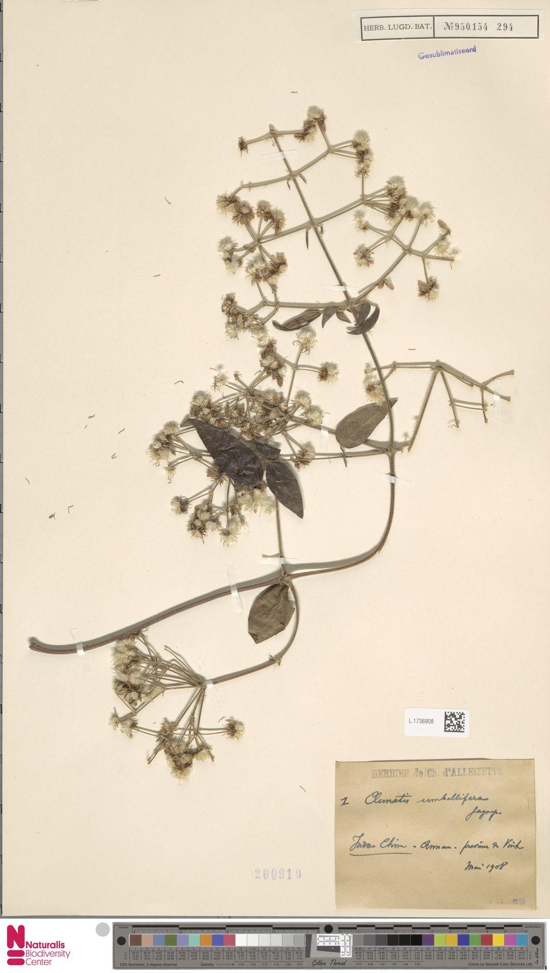 L.1736908 | Clematis umbellifera Gagnep.