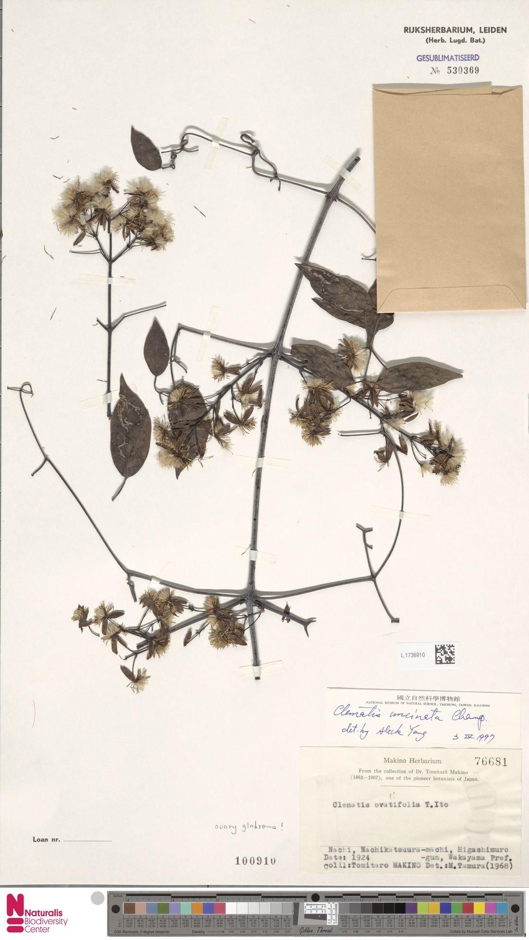 L.1736910 | Clematis uncinata Champ. ex Benth.