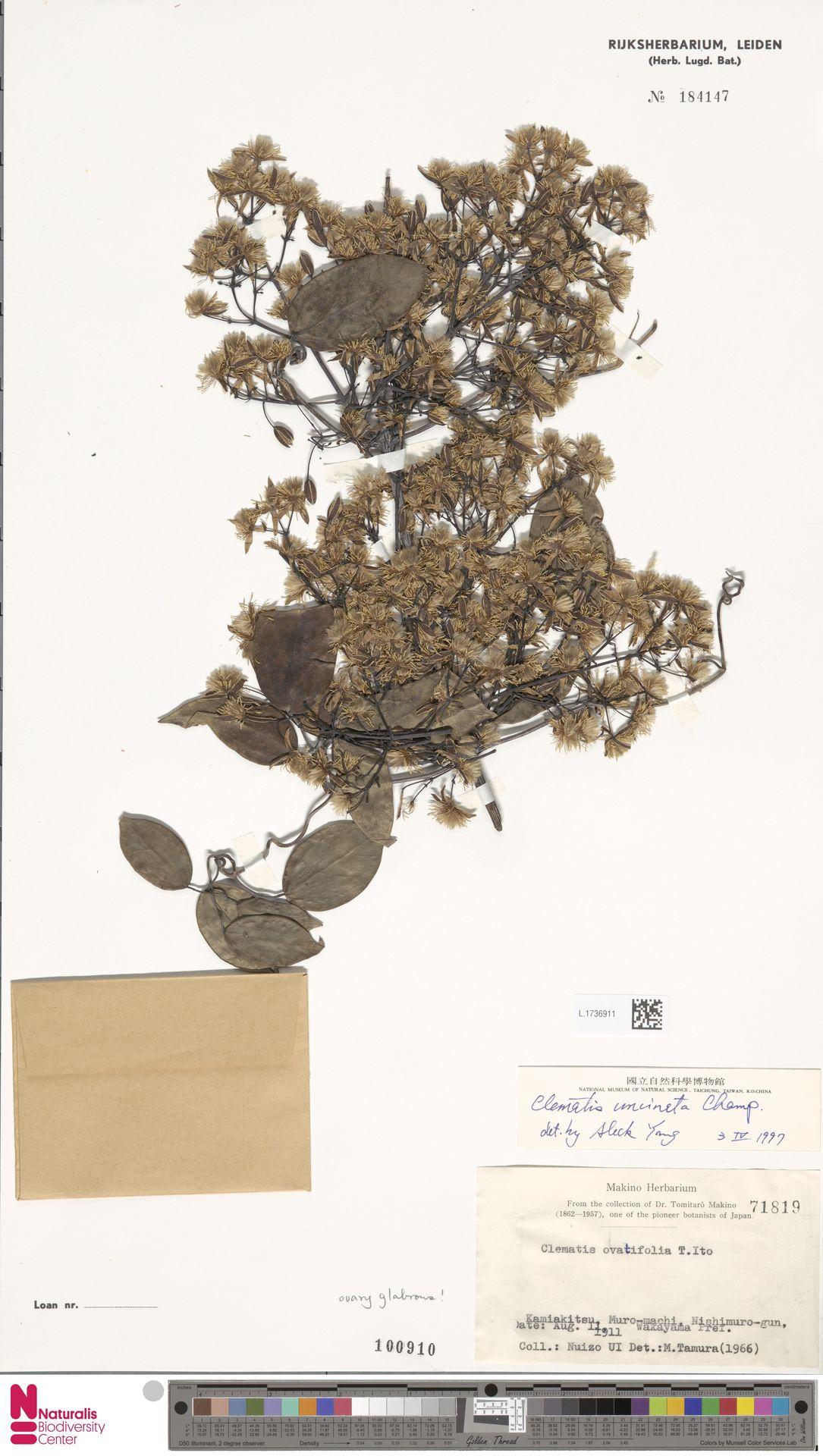 L.1736911 | Clematis uncinata Champ. ex Benth.