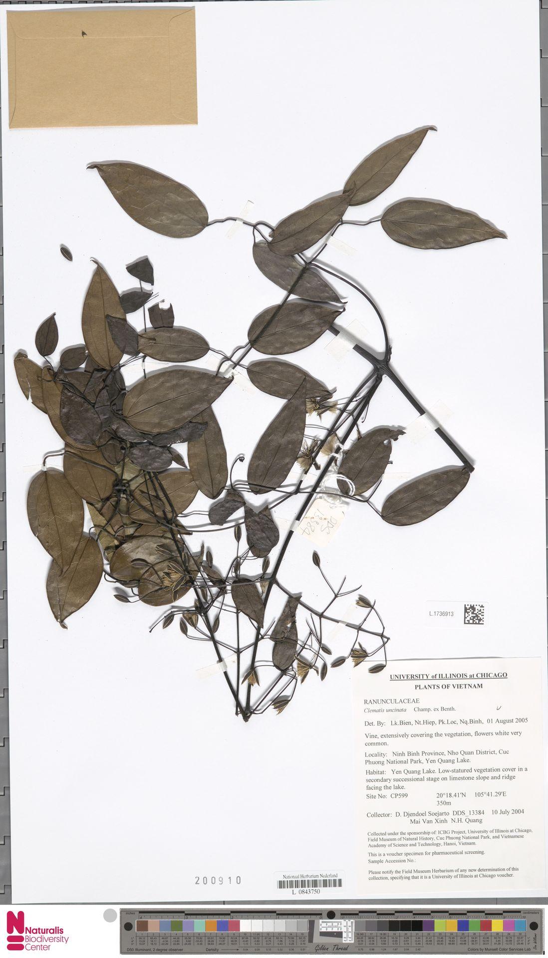 L.1736913 | Clematis uncinata Champ. ex Benth.
