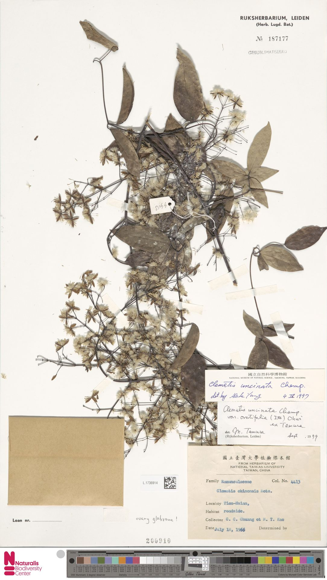 L.1736914   Clematis uncinata Champ. ex Benth.