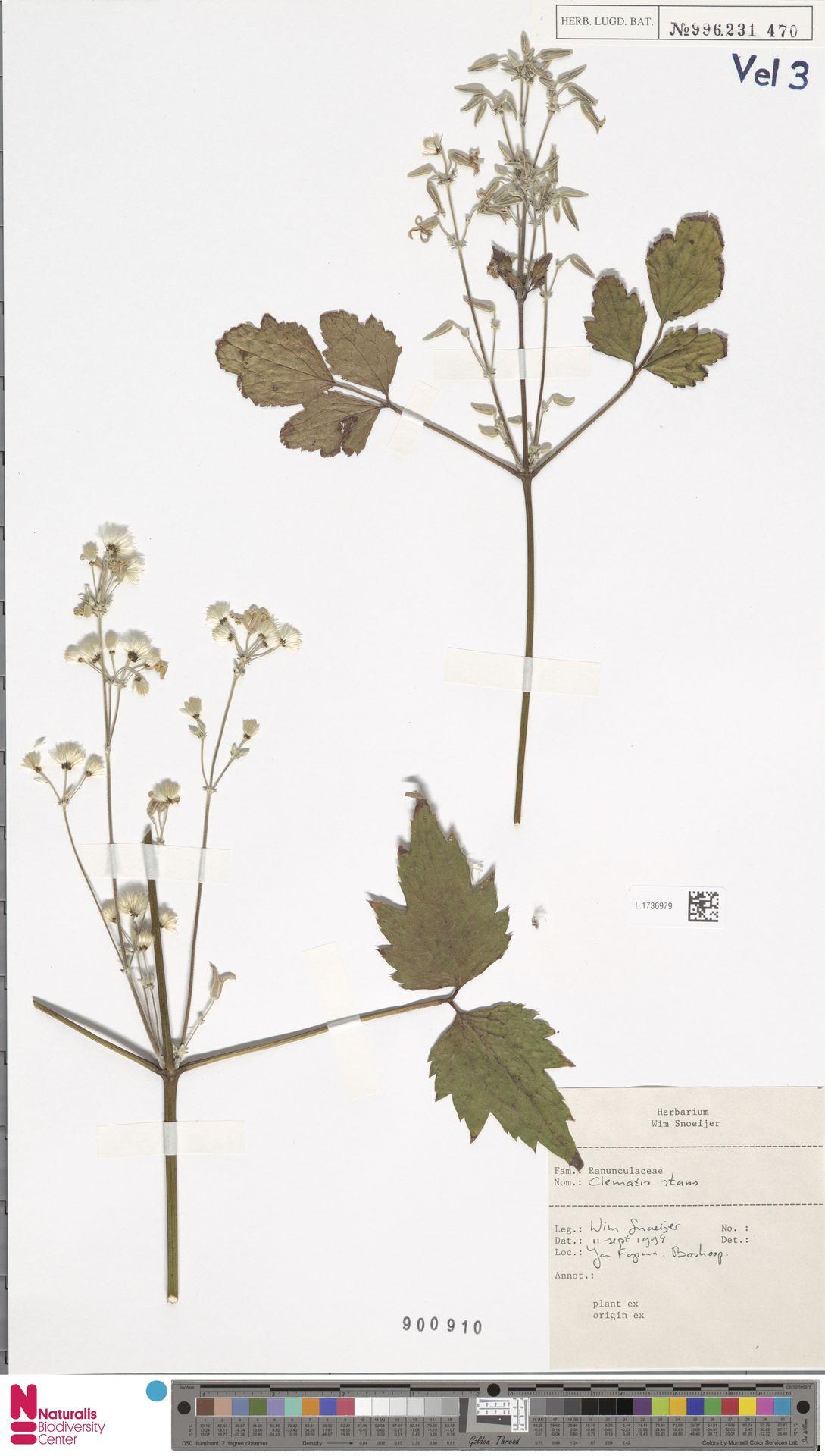 L.1736979 | Clematis stans Siebold & Zucc.