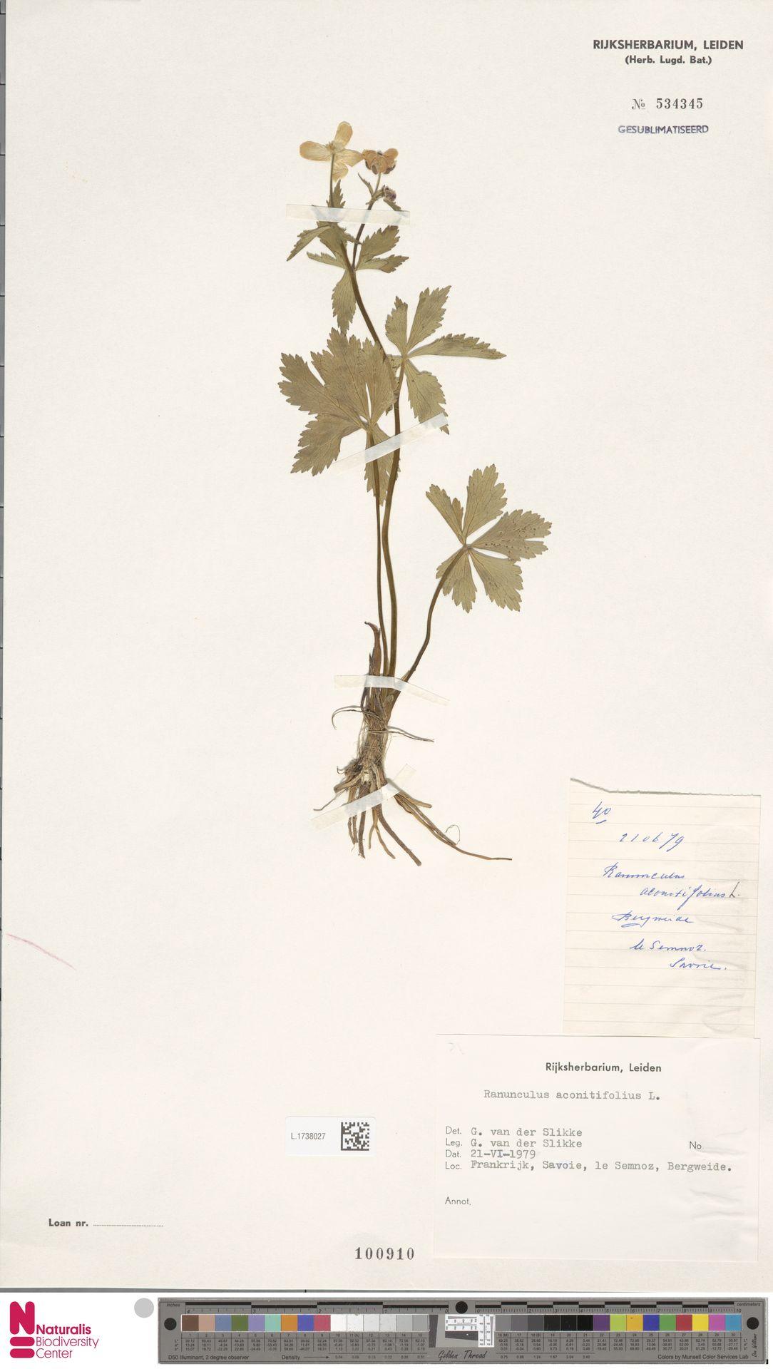 L.1738027 | Ranunculus aconitifolius L.