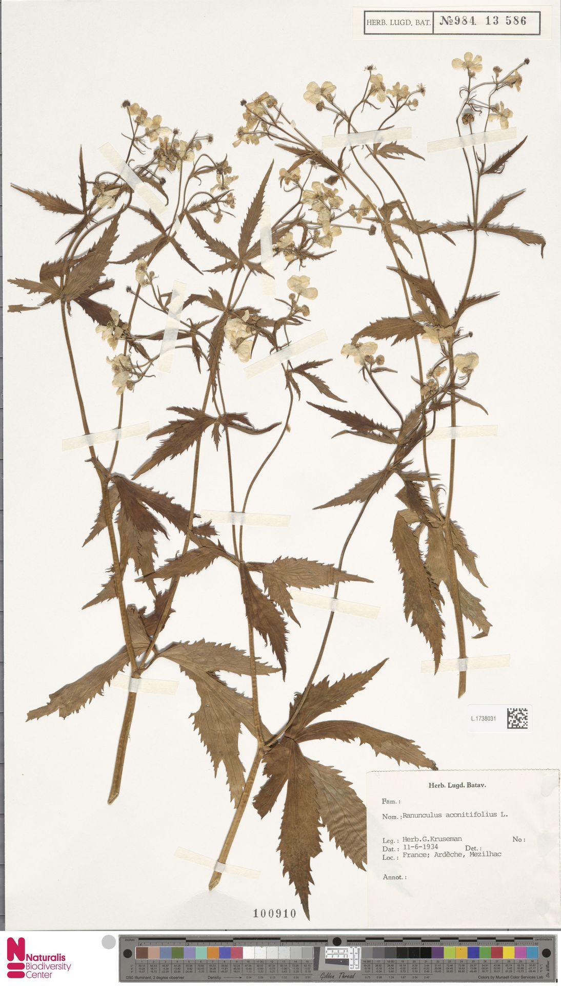 L.1738031 | Ranunculus aconitifolius L.