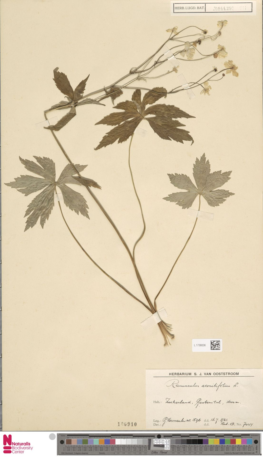 L.1738036 | Ranunculus aconitifolius L.