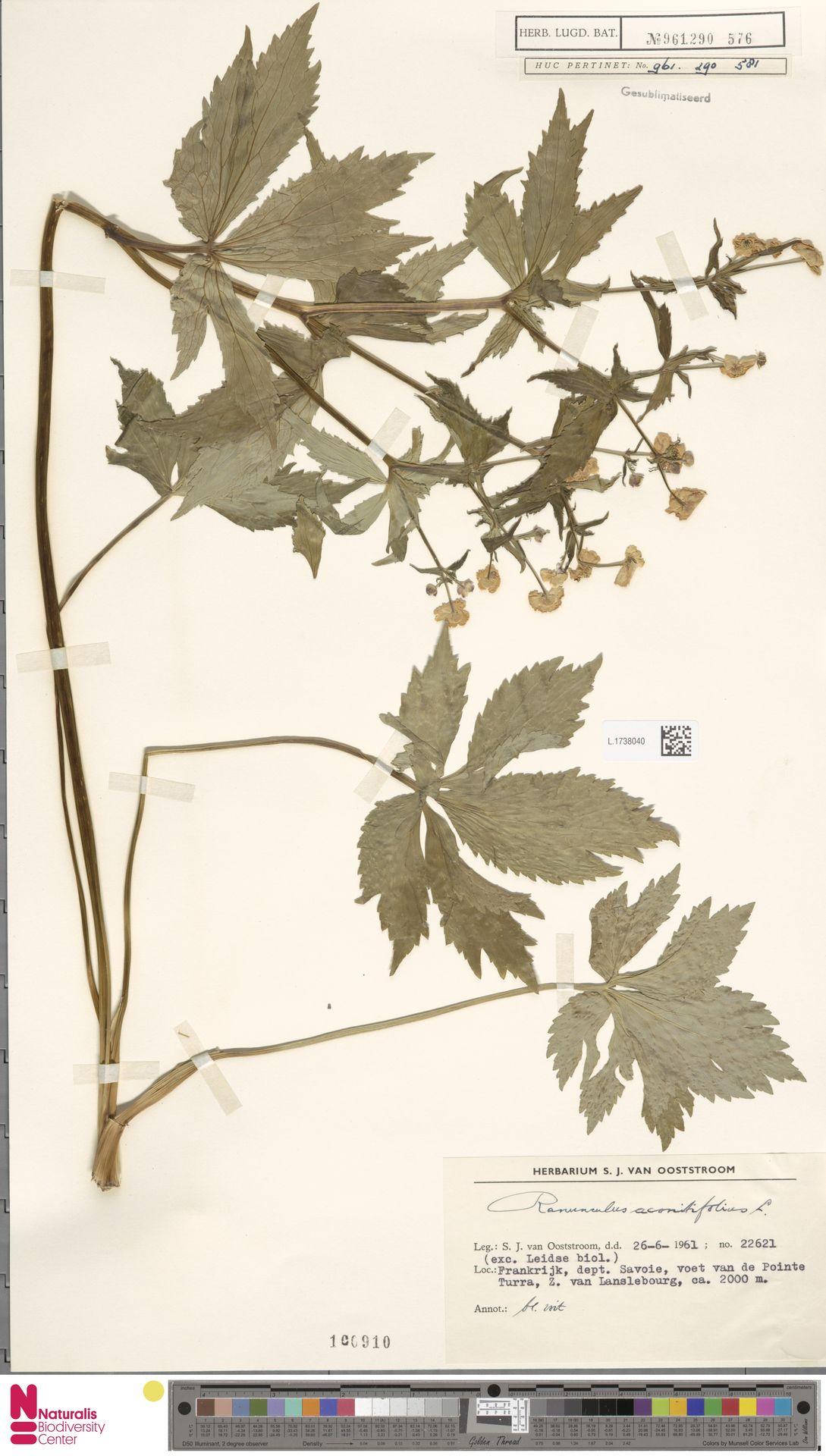 L.1738040 | Ranunculus aconitifolius L.