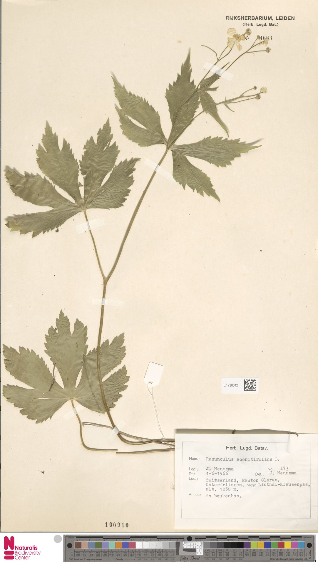 L.1738042 | Ranunculus aconitifolius L.