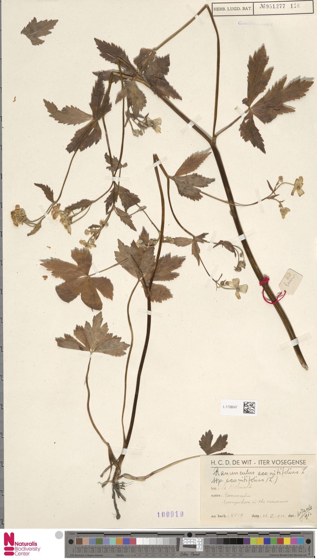 L.1738047 | Ranunculus aconitifolius L.