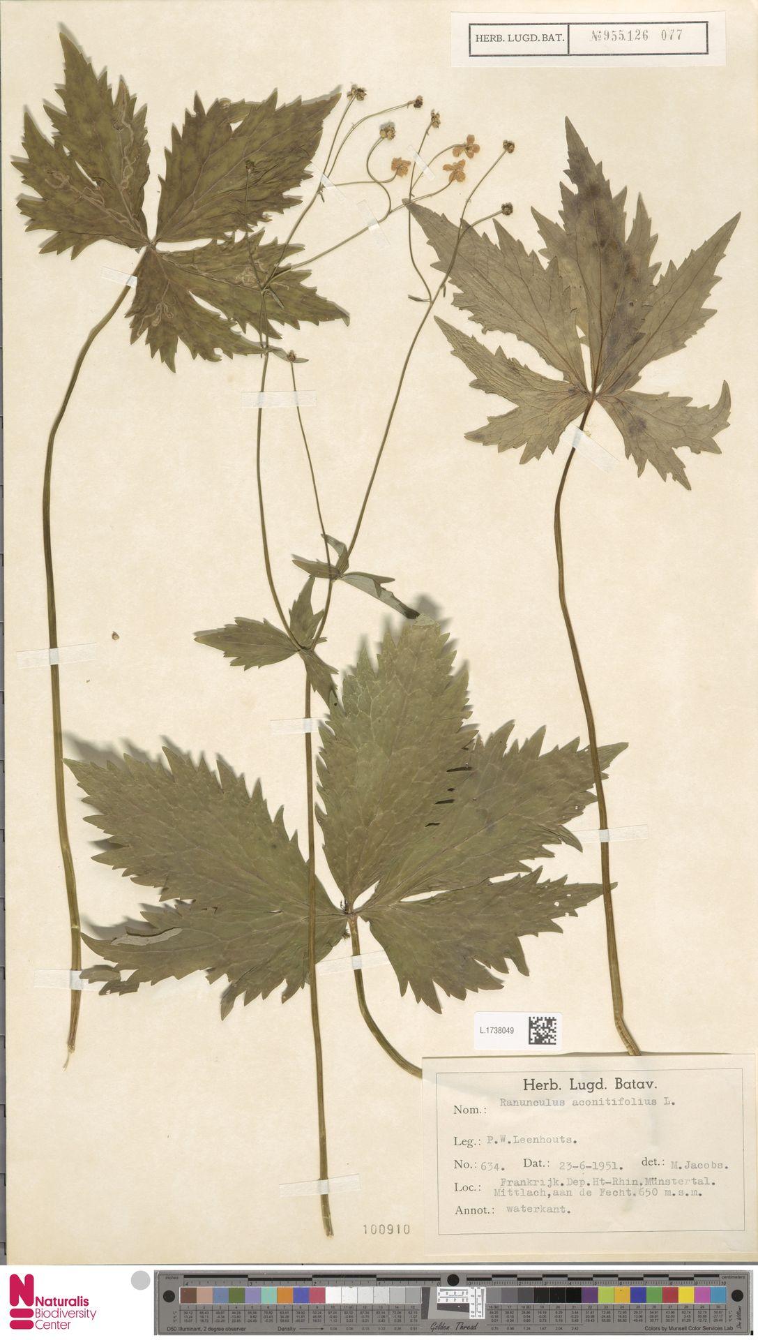 L.1738049 | Ranunculus aconitifolius L.