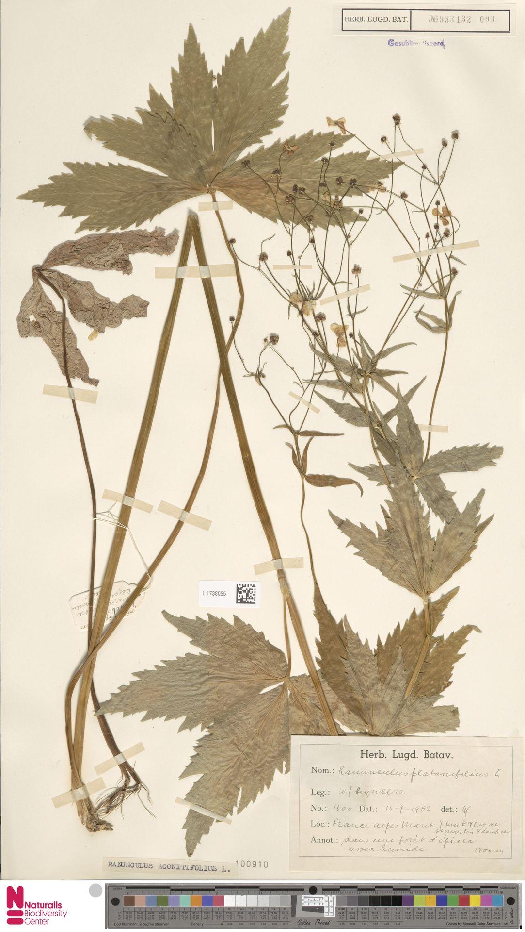L.1738055 | Ranunculus aconitifolius L.