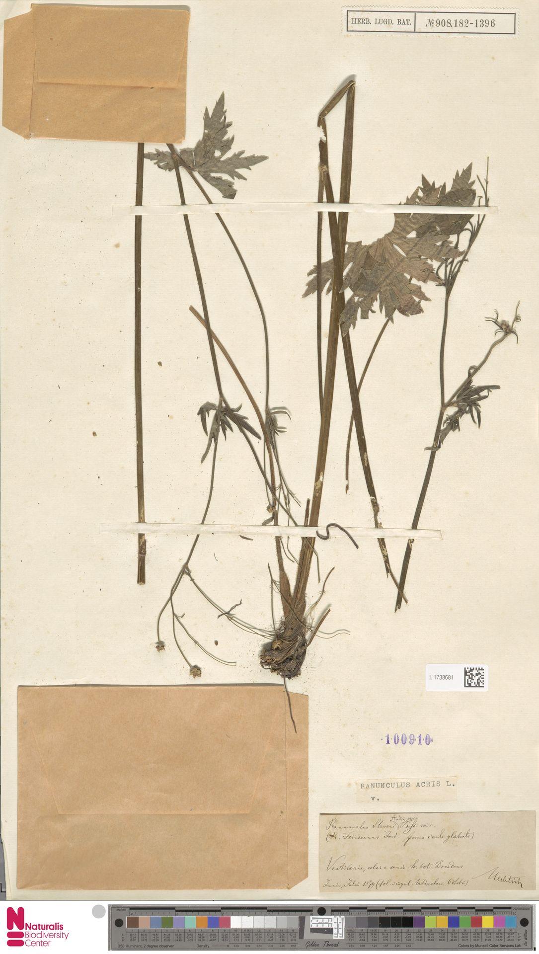 L.1738681 | Ranunculus acris L.
