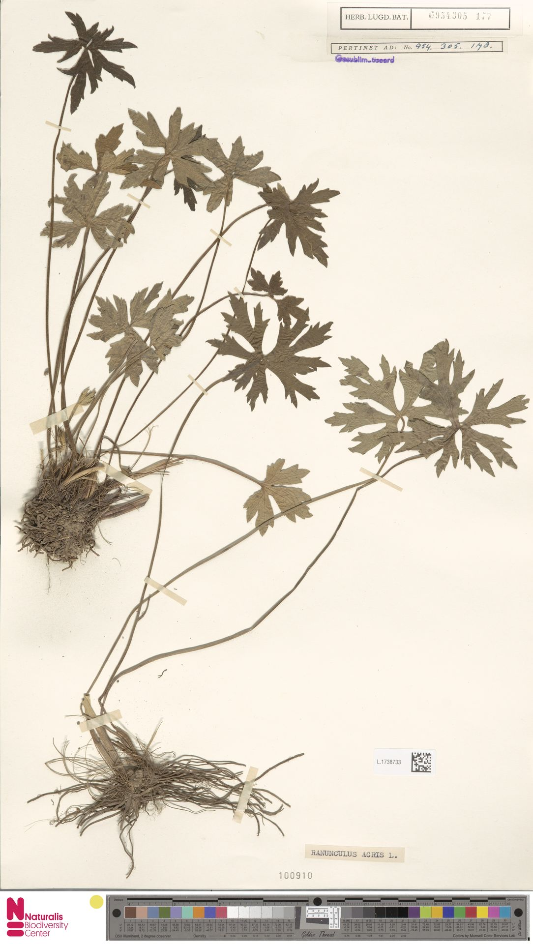 L.1738733   Ranunculus acris L.