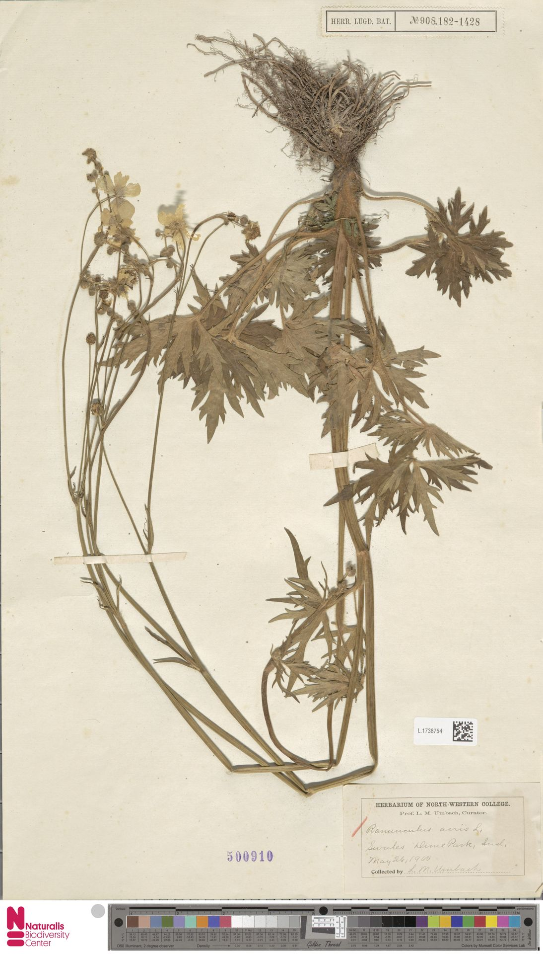 L.1738754 | Ranunculus acris L.