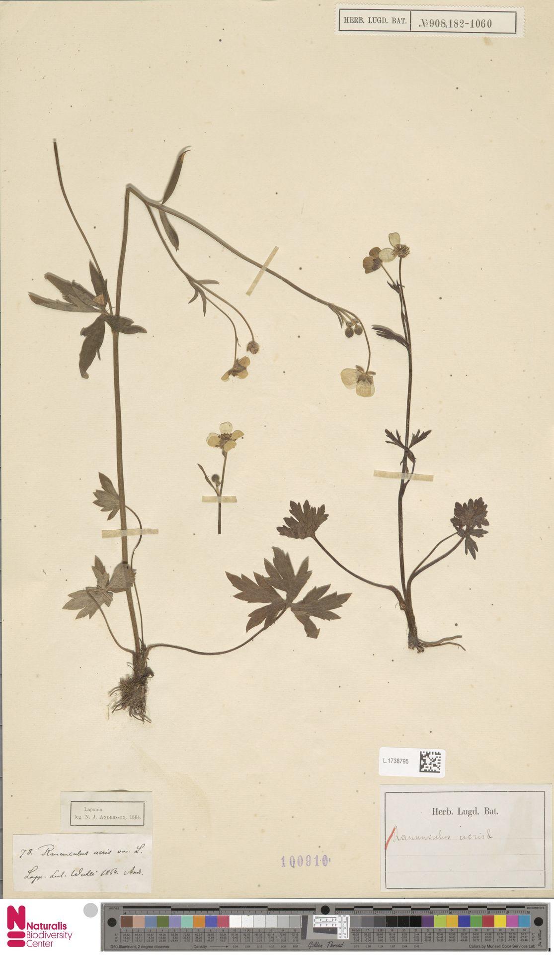 L.1738795   Ranunculus acris L.