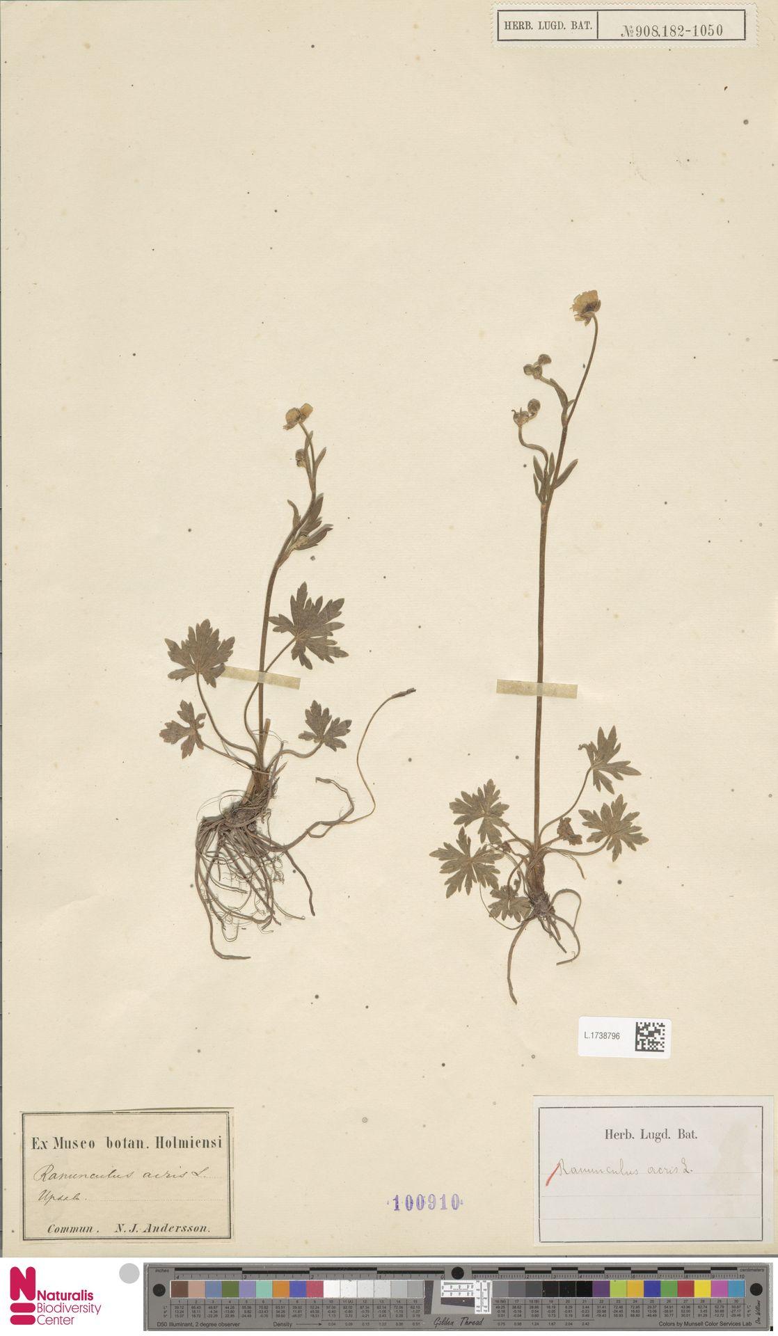L.1738796 | Ranunculus acris L.