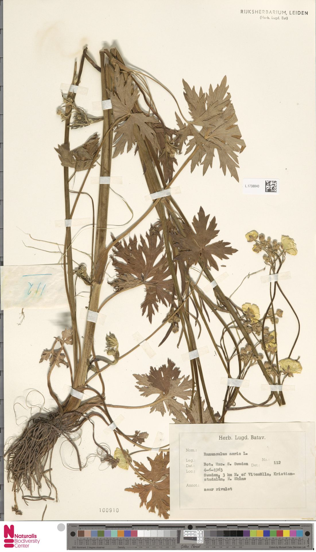 L.1738840 | Ranunculus acris L.