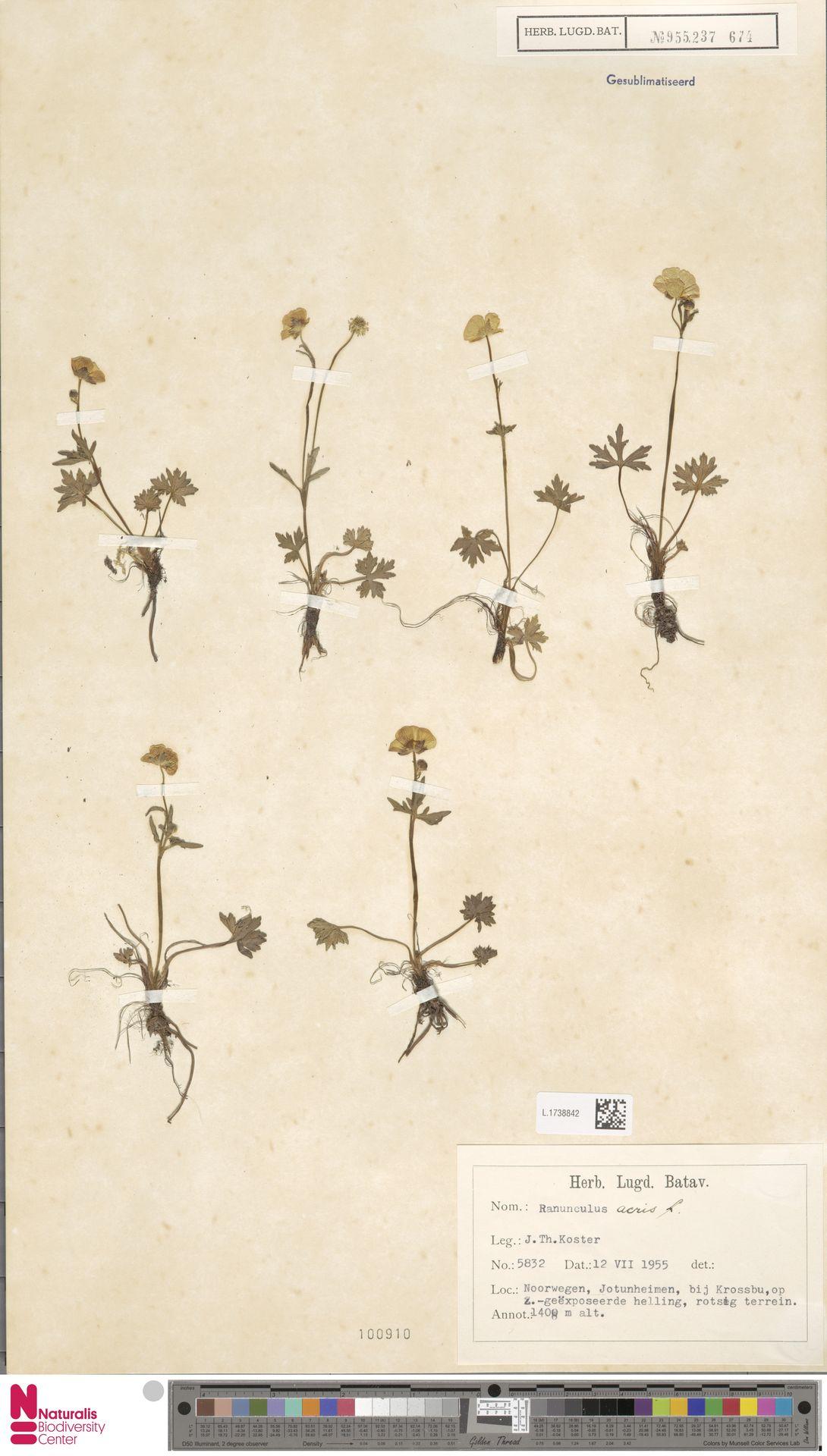 L.1738842 | Ranunculus acris L.