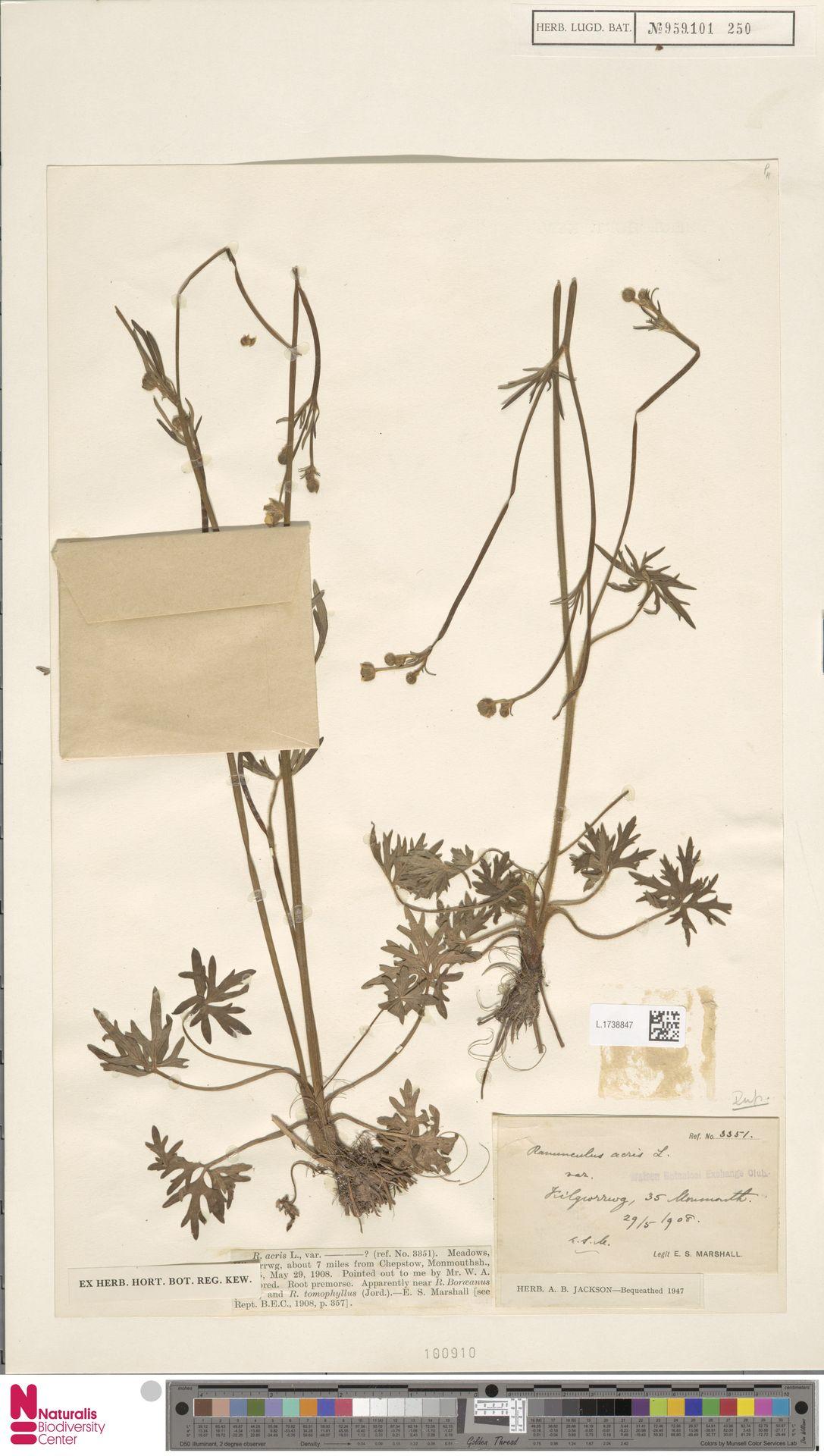 L.1738847 | Ranunculus acris L.