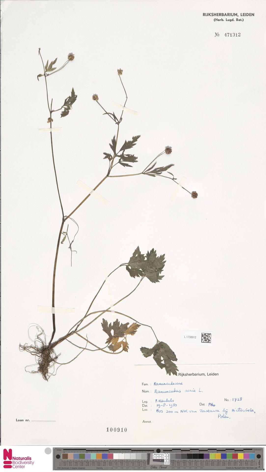 L.1738912   Ranunculus acris L.