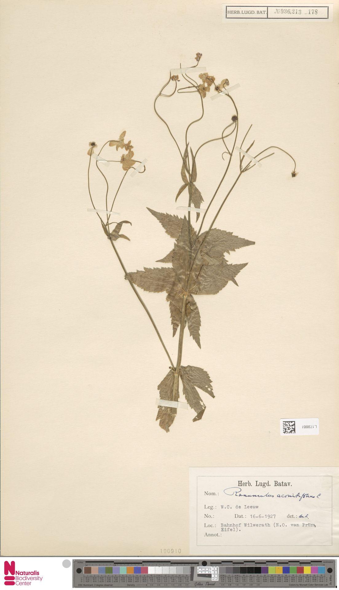 L.1738951 | Ranunculus aconitifolius L.