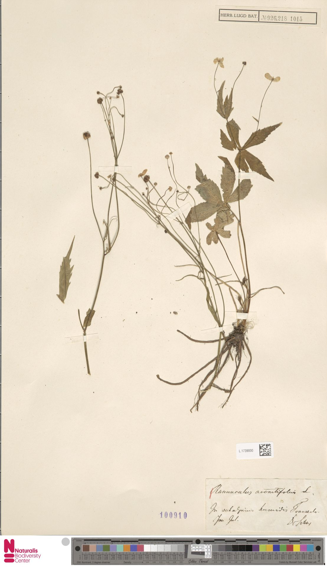 L.1739000 | Ranunculus aconitifolius L.
