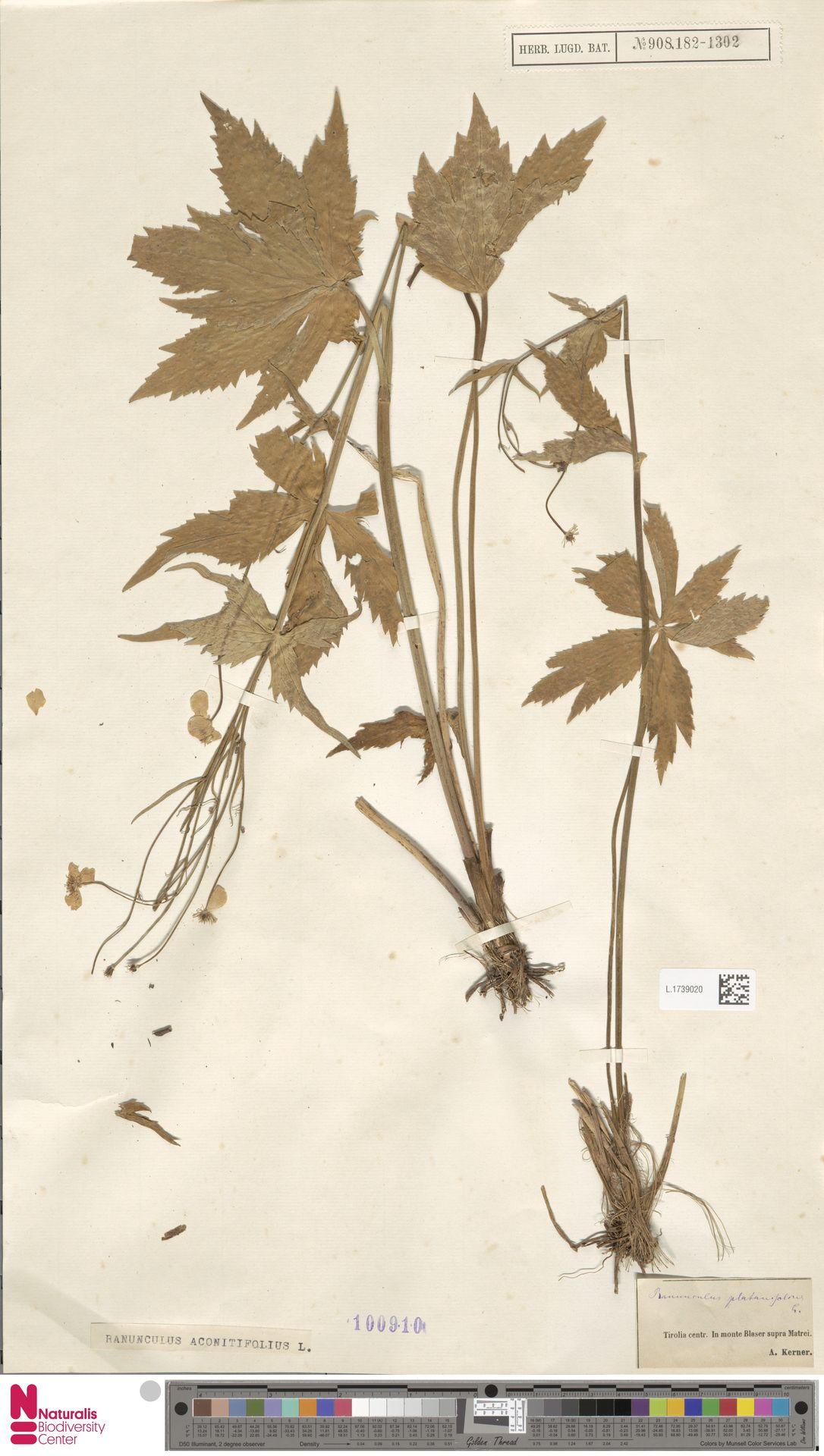 L.1739020 | Ranunculus aconitifolius L.