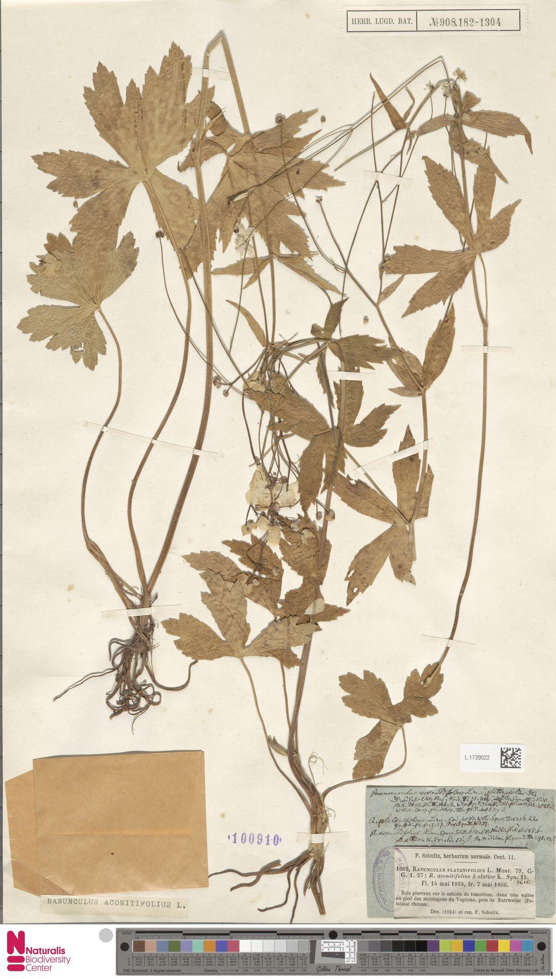 L.1739022   Ranunculus platanifolius L.
