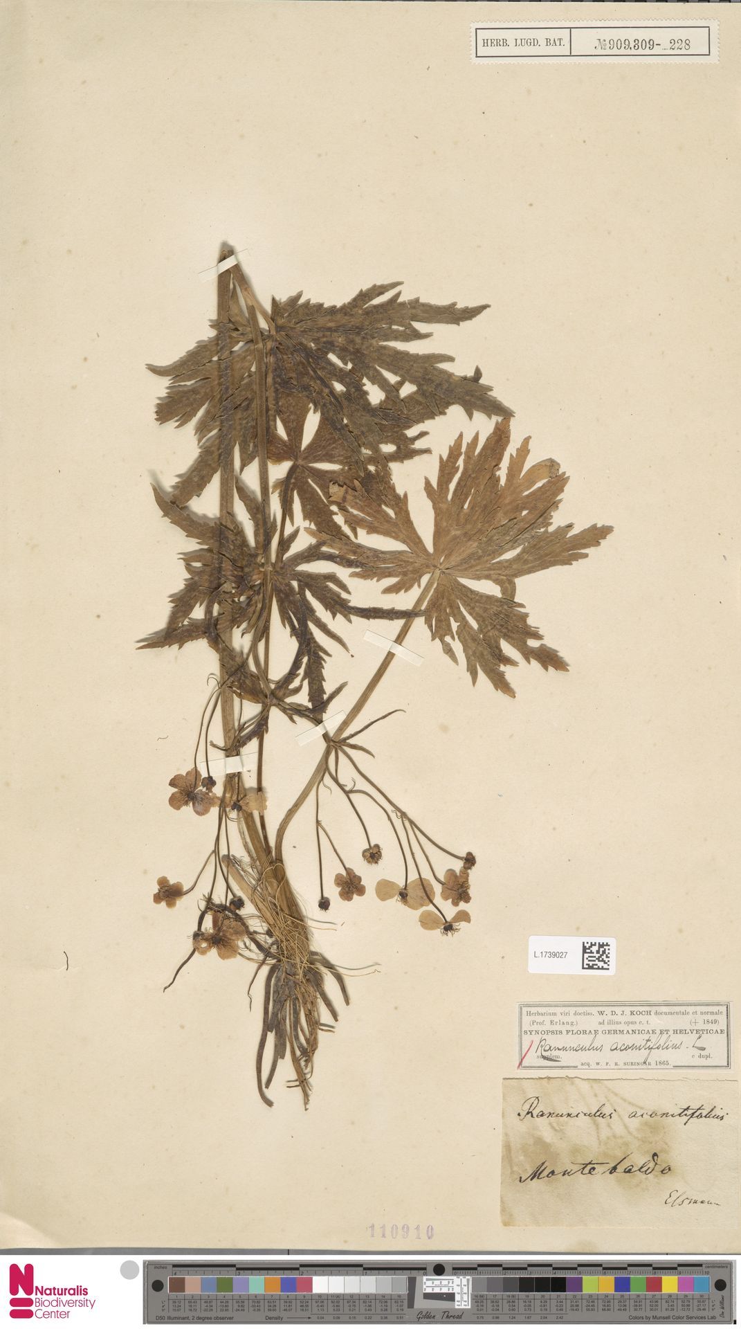 L.1739027 | Ranunculus aconitifolius L.