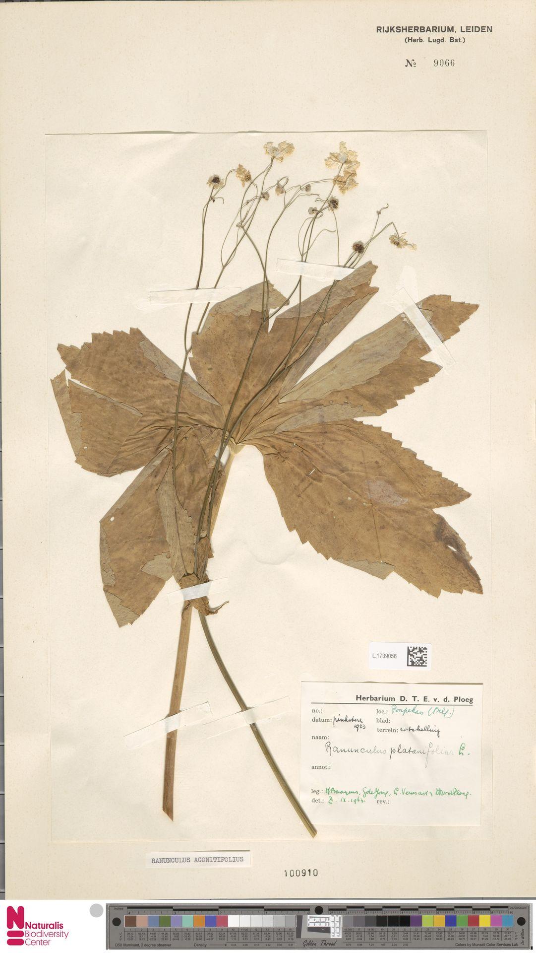 L.1739056   Ranunculus aconitifolius L.