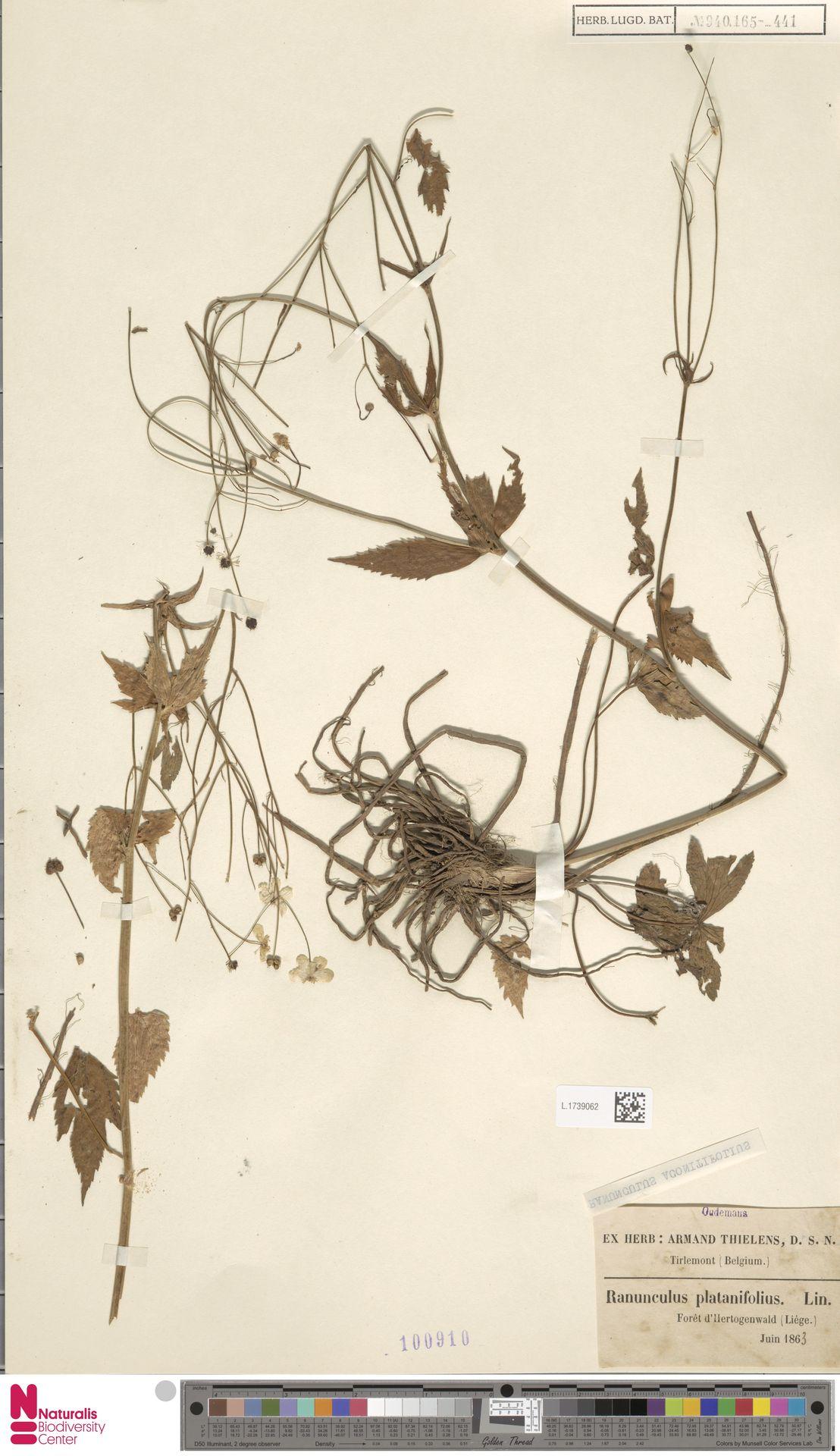 L.1739062 | Ranunculus aconitifolius L.
