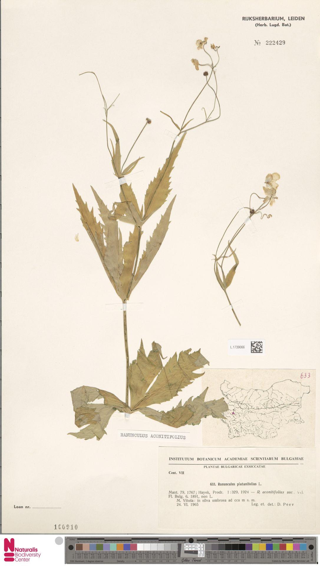 L.1739066 | Ranunculus aconitifolius L.