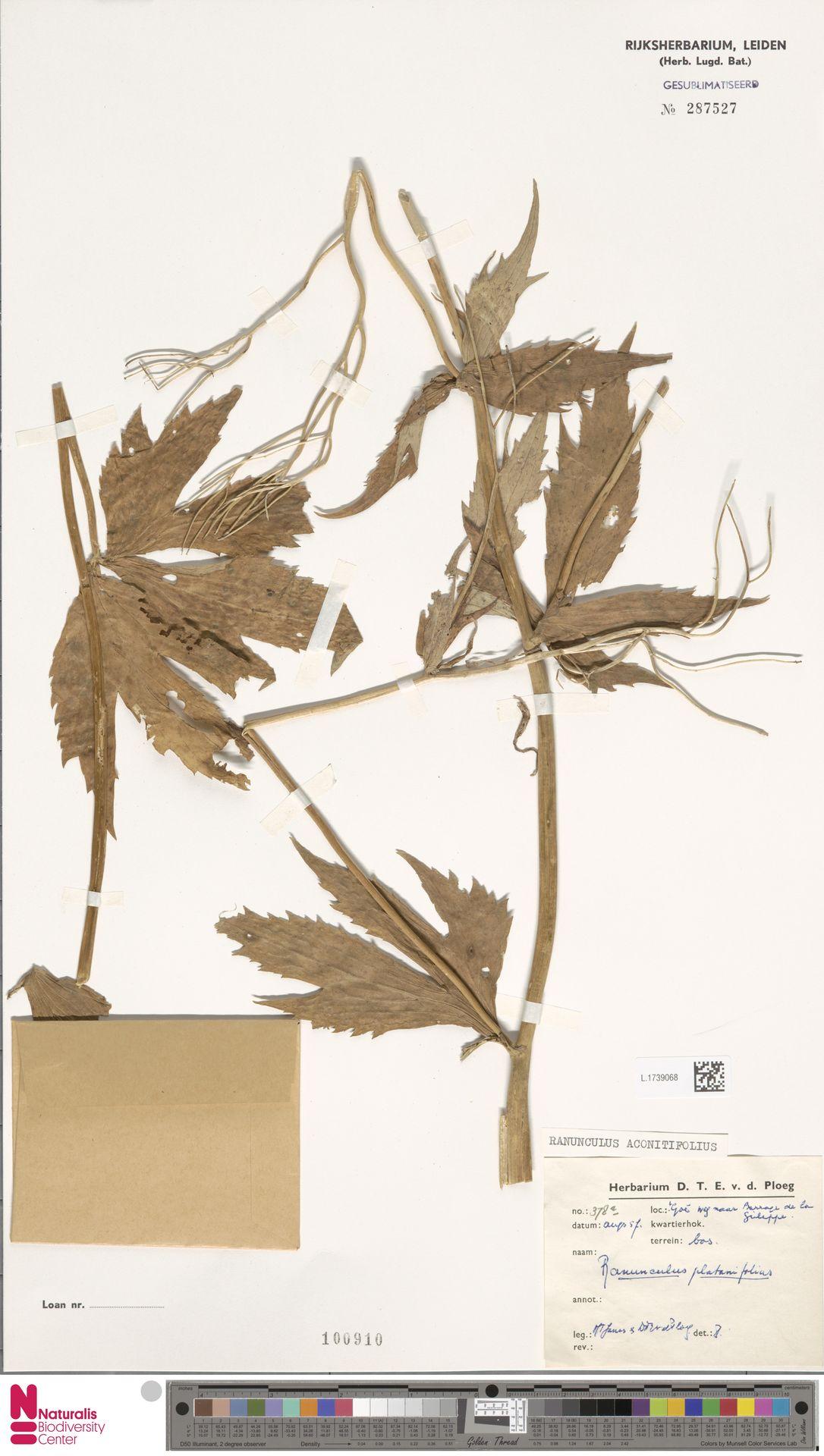 L.1739068 | Ranunculus aconitifolius L.
