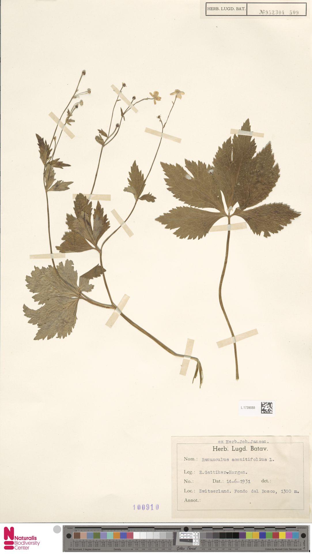 L.1739088 | Ranunculus aconitifolius L.