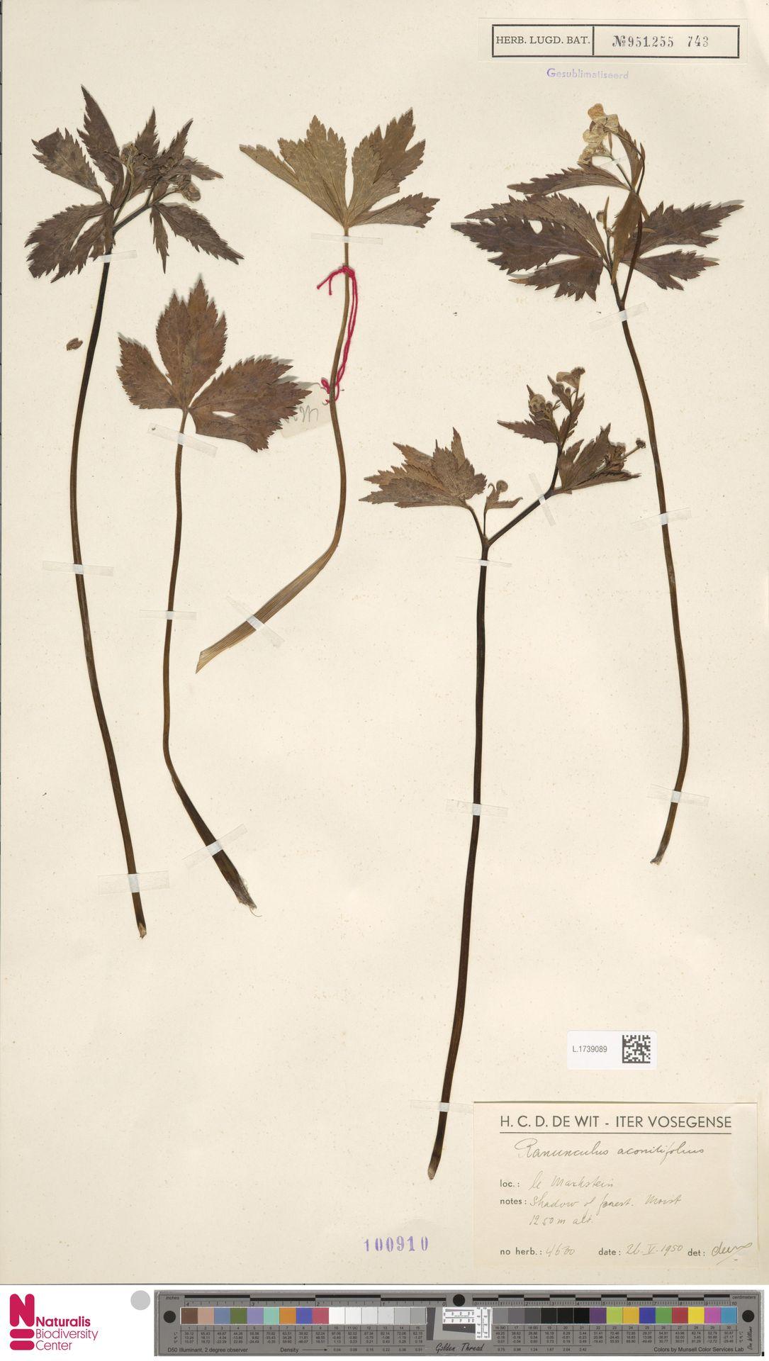 L.1739089 | Ranunculus aconitifolius L.