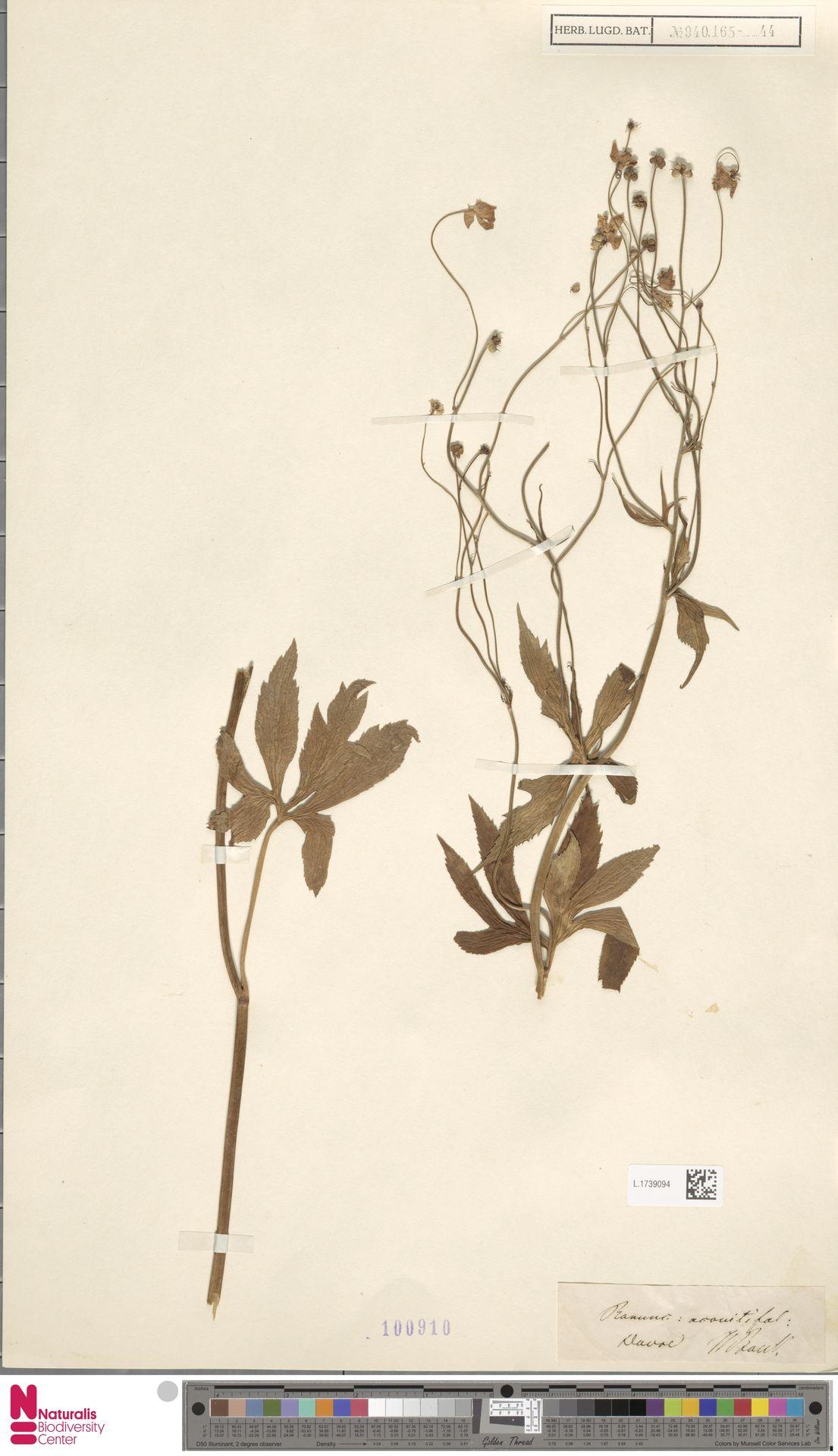 L.1739094 | Ranunculus aconitifolius L.