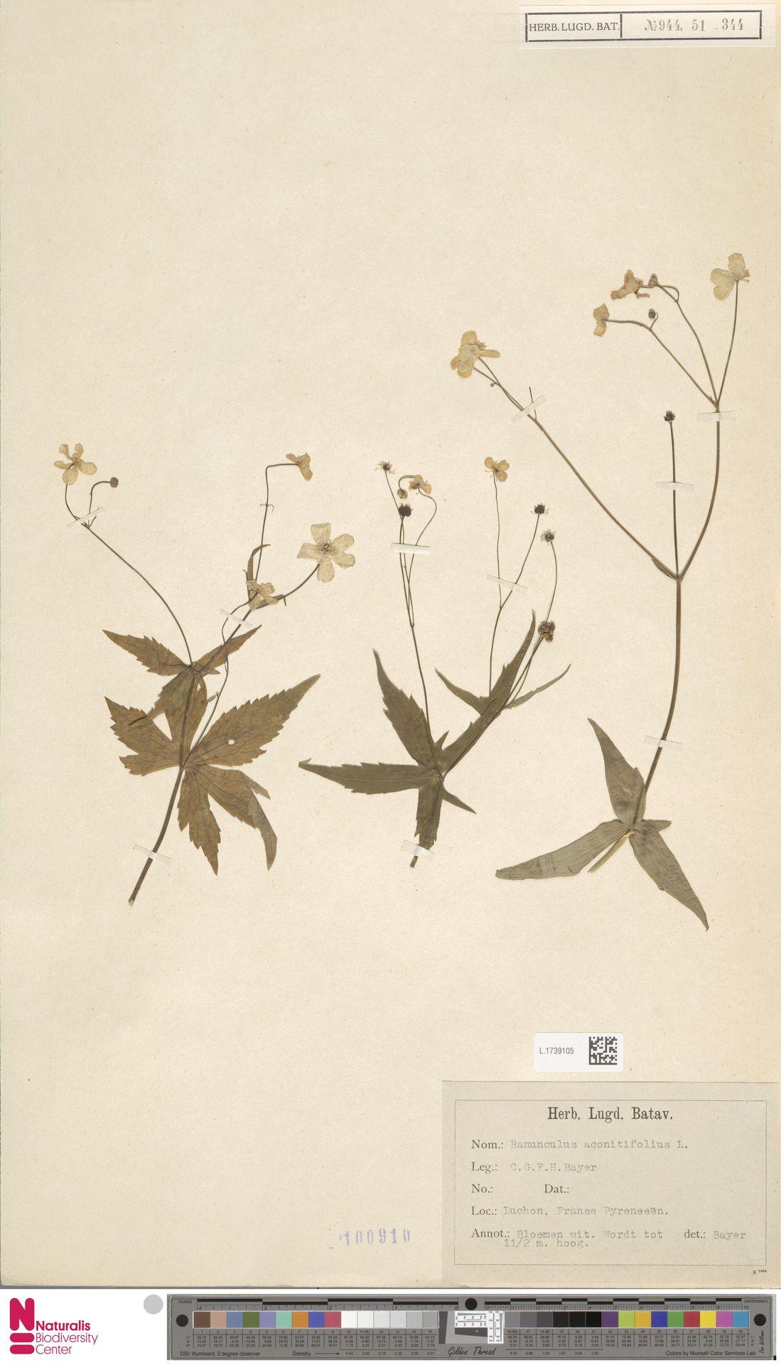 L.1739105 | Ranunculus aconitifolius L.