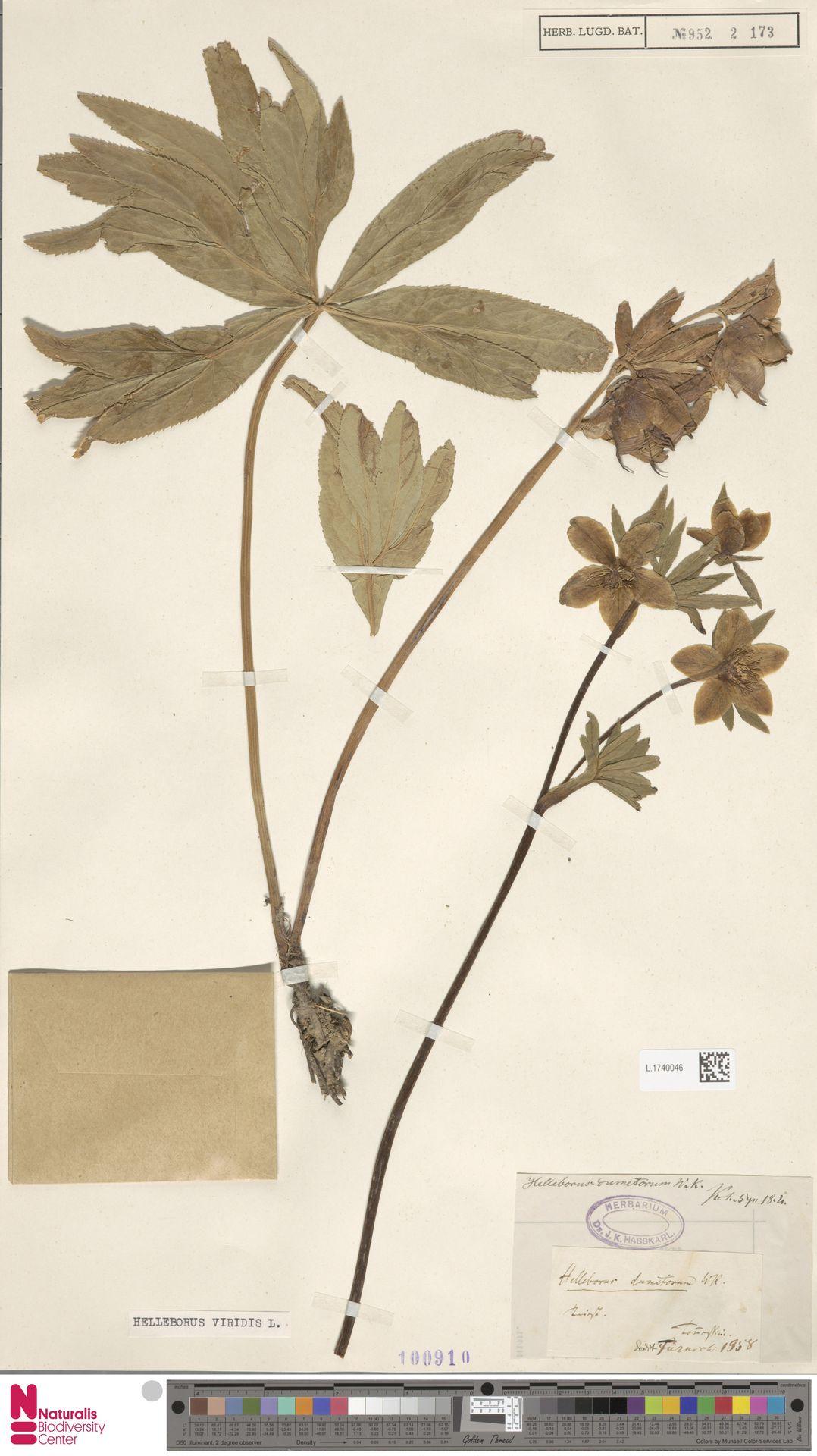 L.1740046 | Helleborus viridis L.