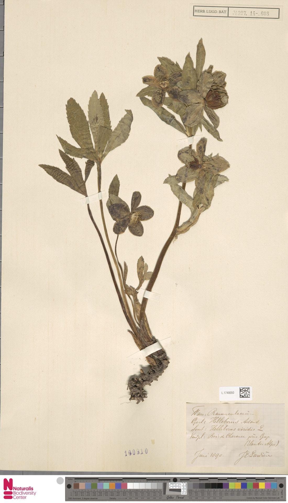L.1740050   Helleborus viridis L.