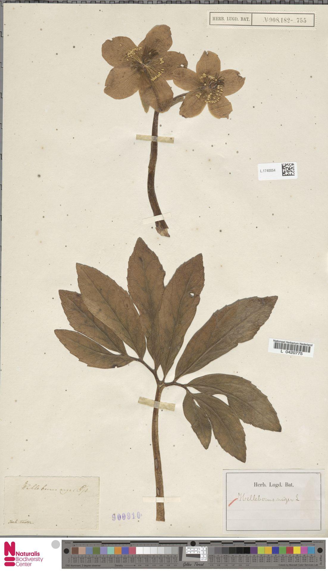 L.1740054 | Helleborus niger L.