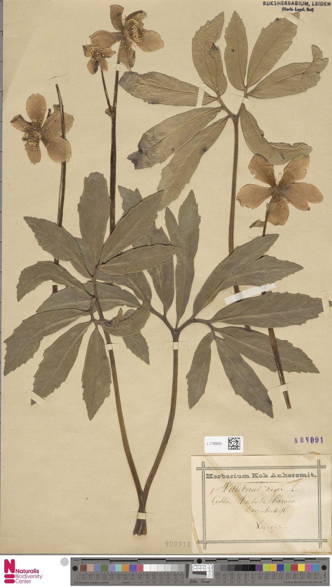 L.1740055 | Helleborus niger L.