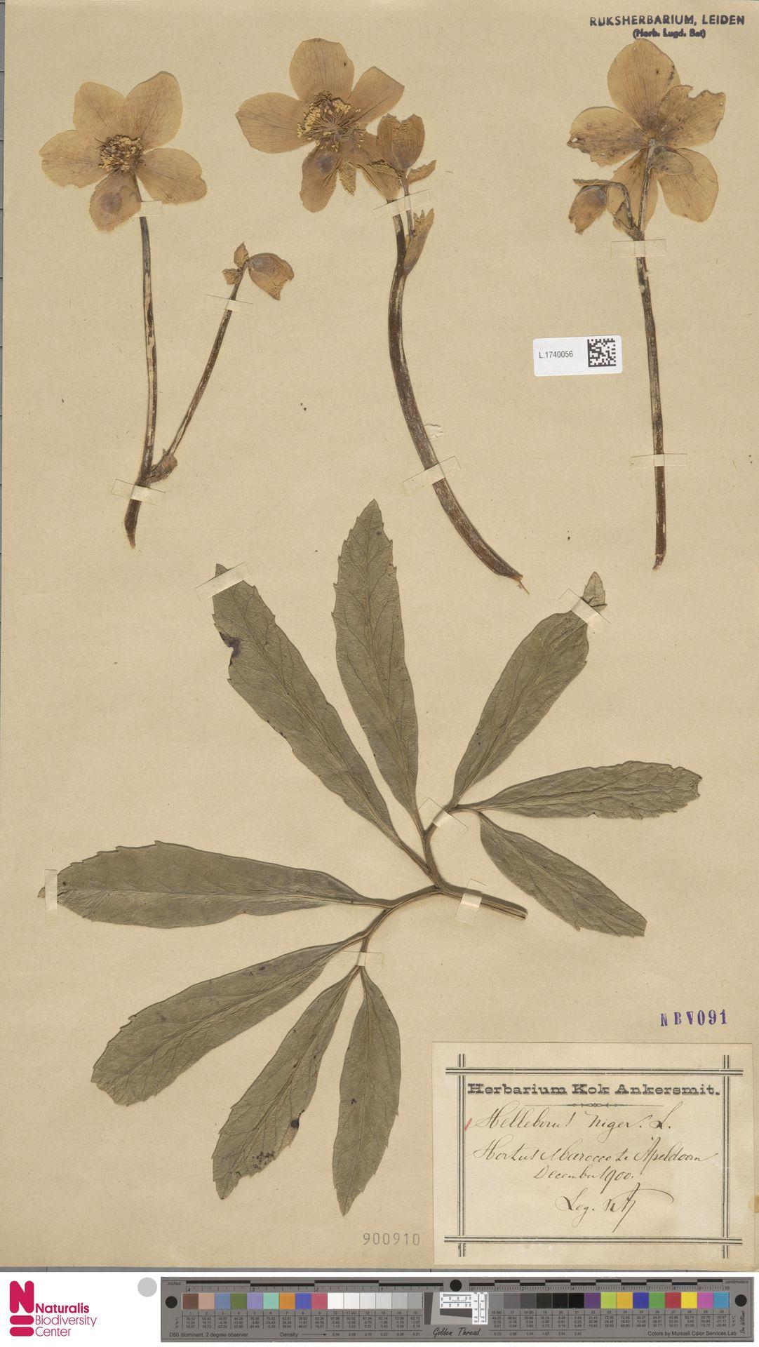 L.1740056   Helleborus niger L.