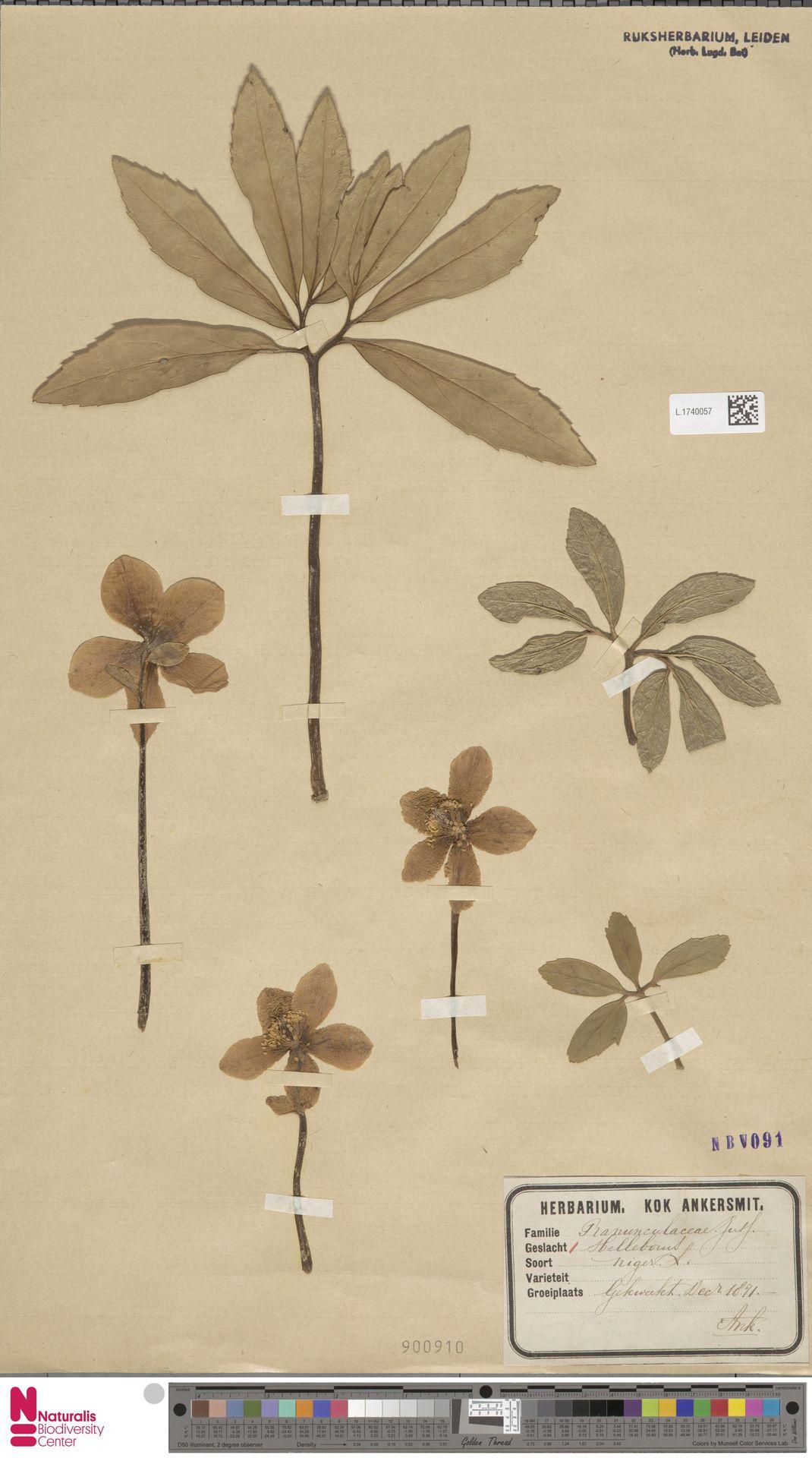 L.1740057 | Helleborus niger L.